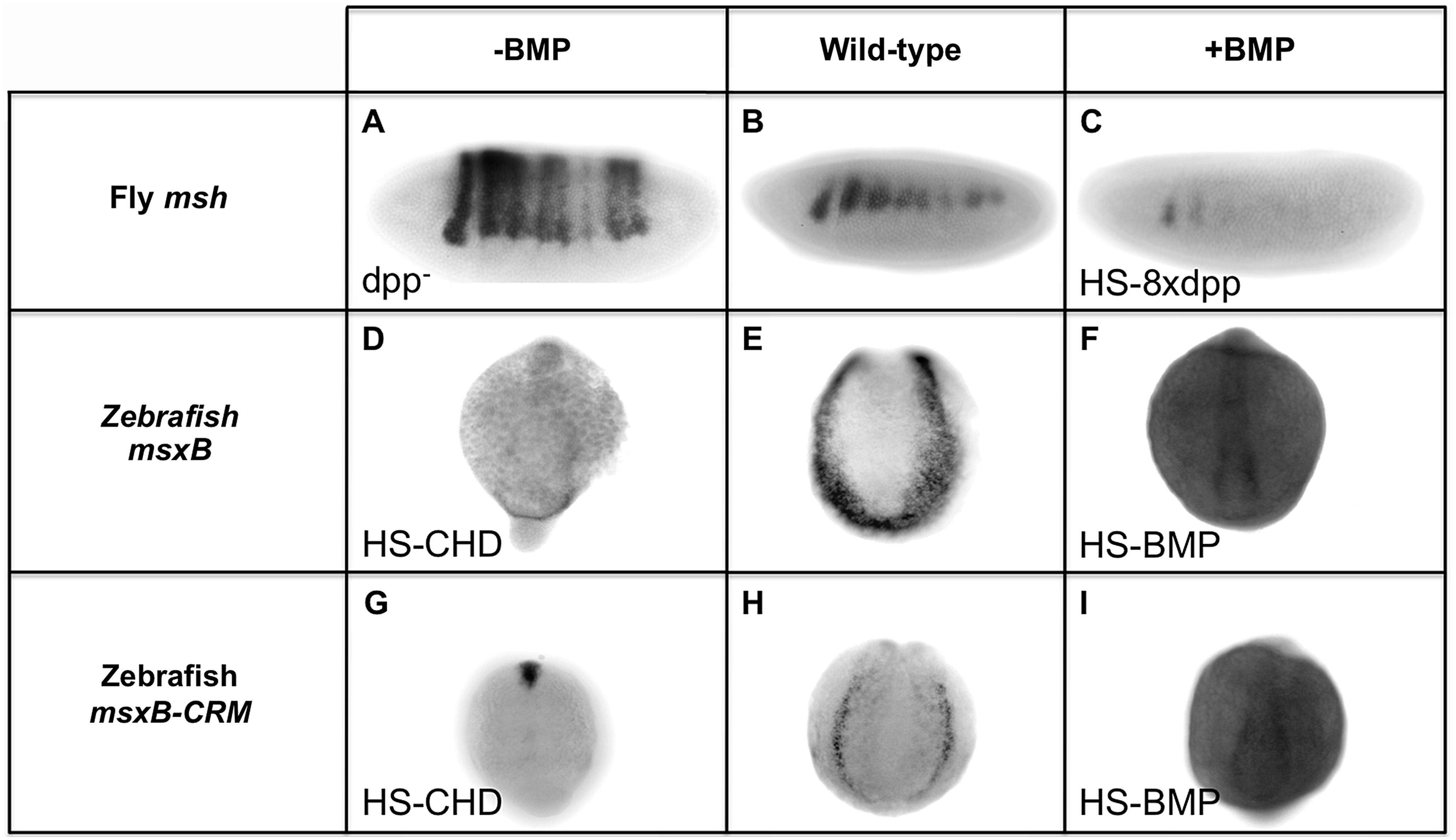 Manipulating BMP signaling elicits opposite responses from <i>msh</i> and <i>msxB</i> in <i>Drosophila</i> and zebrafish embryos.