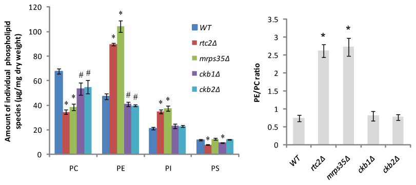 <i>rtc2Δ</i> and <i>mrps35Δ</i> strains exhibit a higher PE/PC ratio.