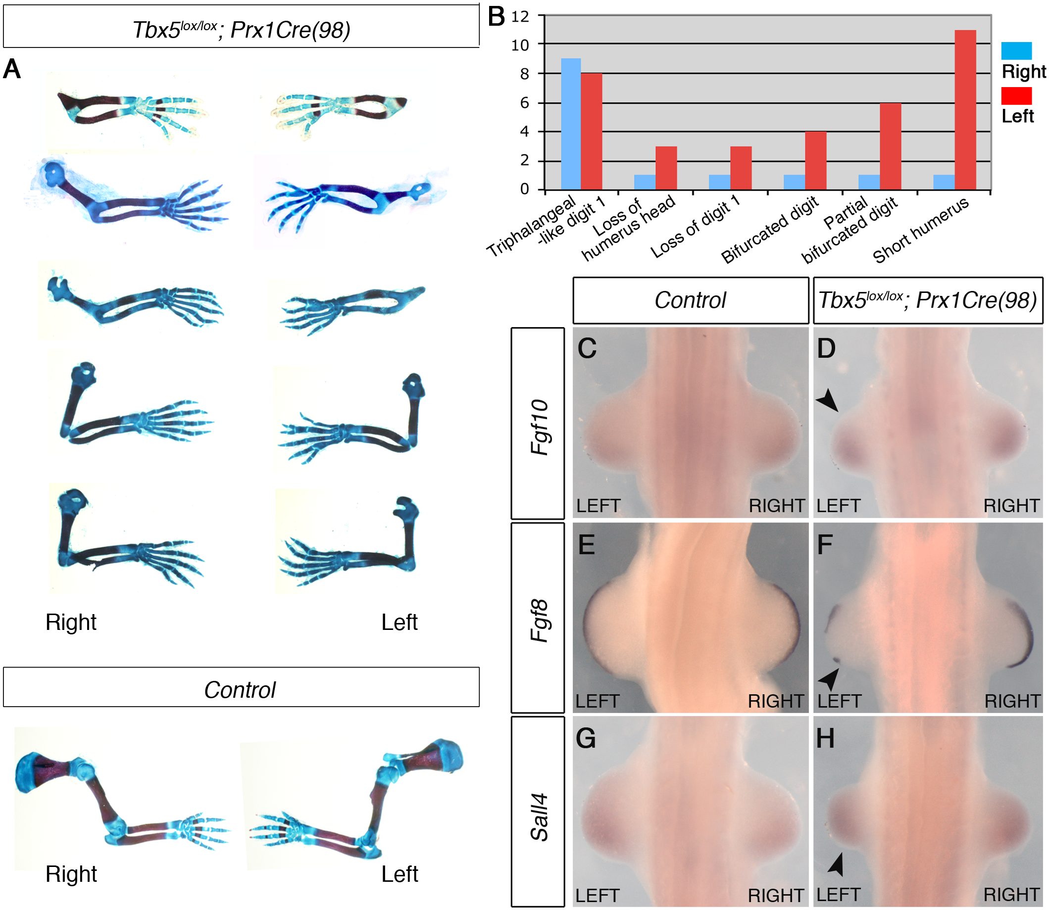 The mosaic and delayed deletion of <i>Tbx5</i> results in the formation of left-biased forelimb defects.