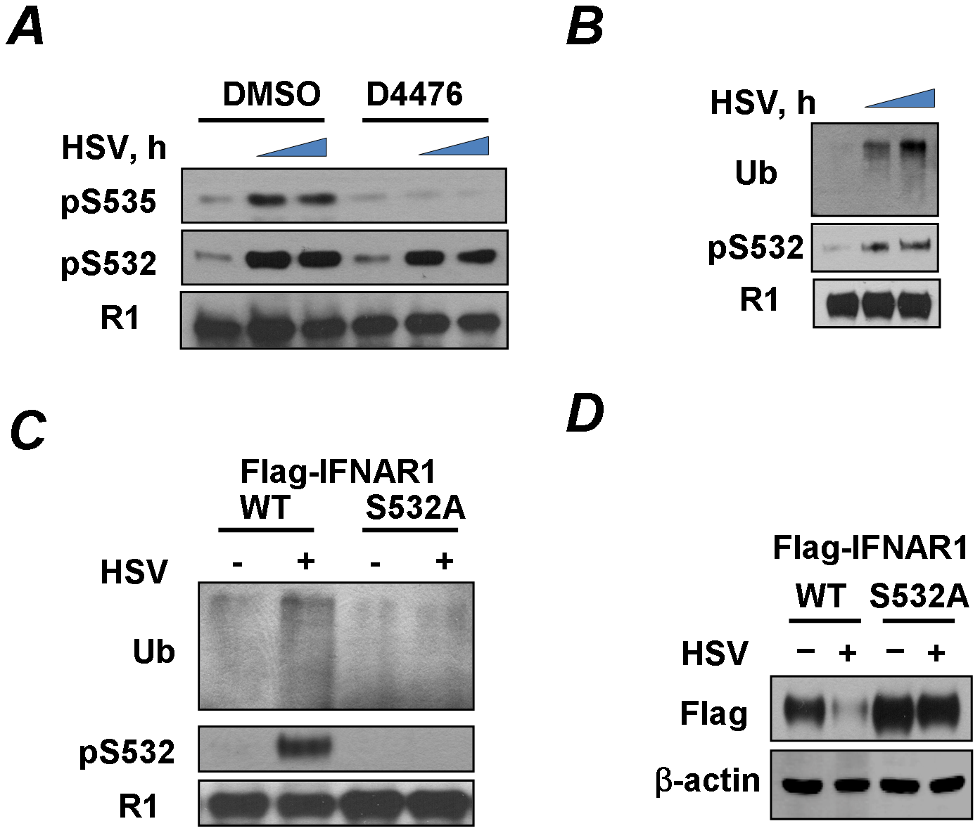 HSV induces priming phosphorylation-dependent ubiquitination and downregulation of IFNAR1.