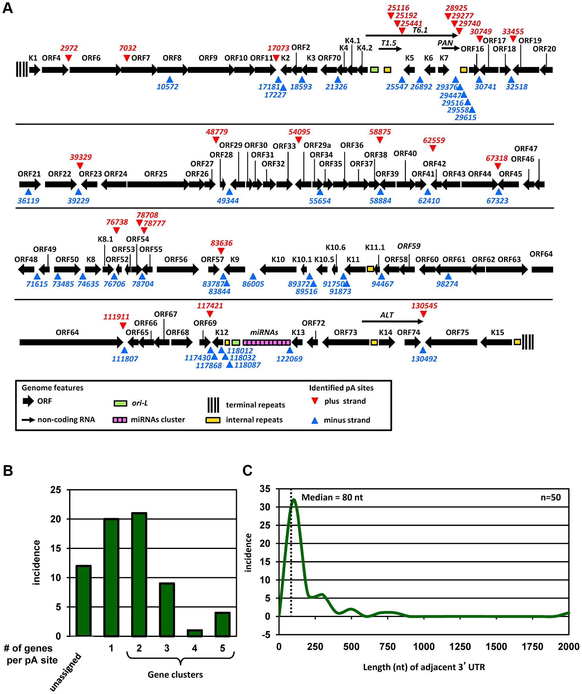 Genome-wide landscape of KSHV pA sites.