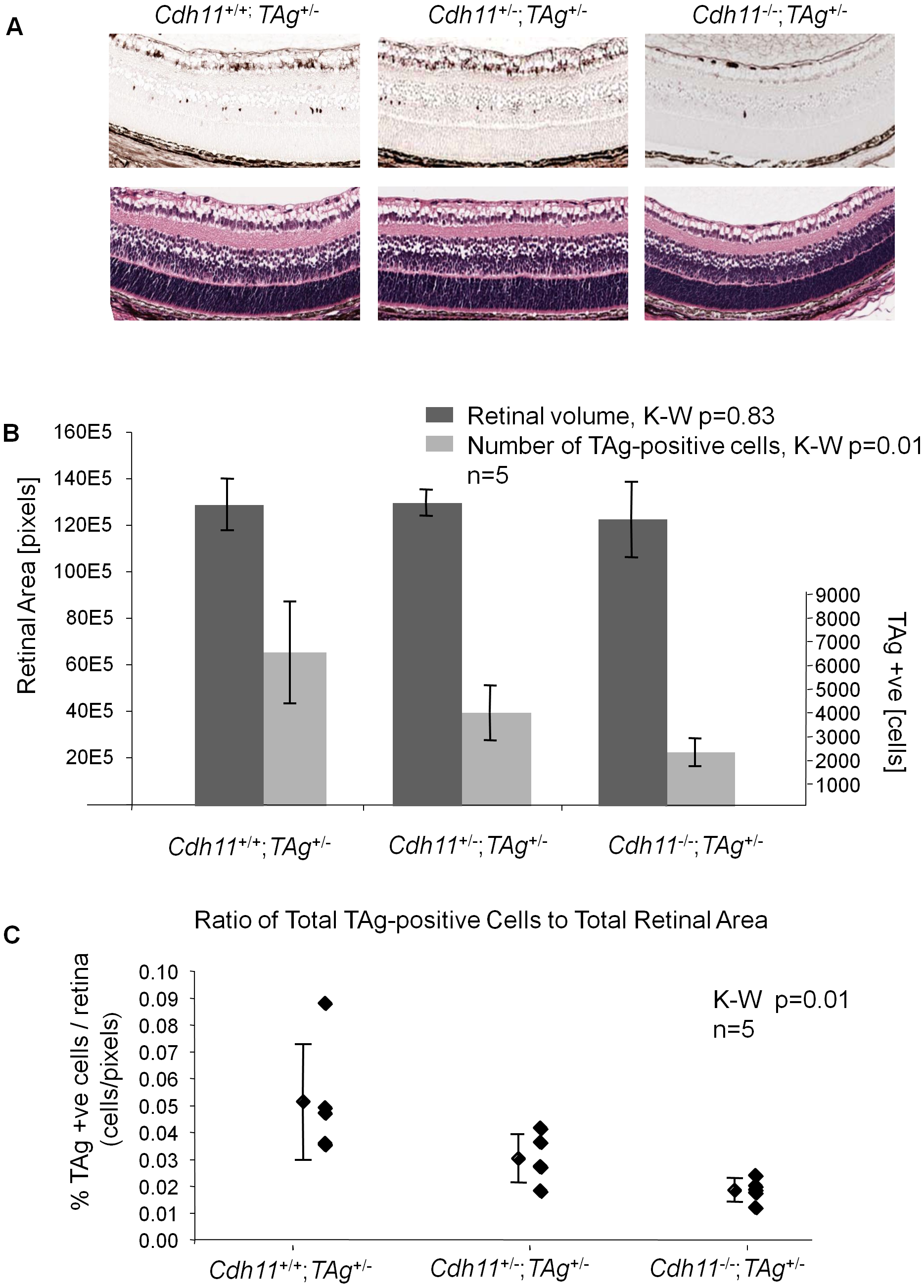 <i>Cdh11</i> genomic copy number correlates with number of TAg-positive cells (origin of tumors in TAg-RB mice) at PND8.