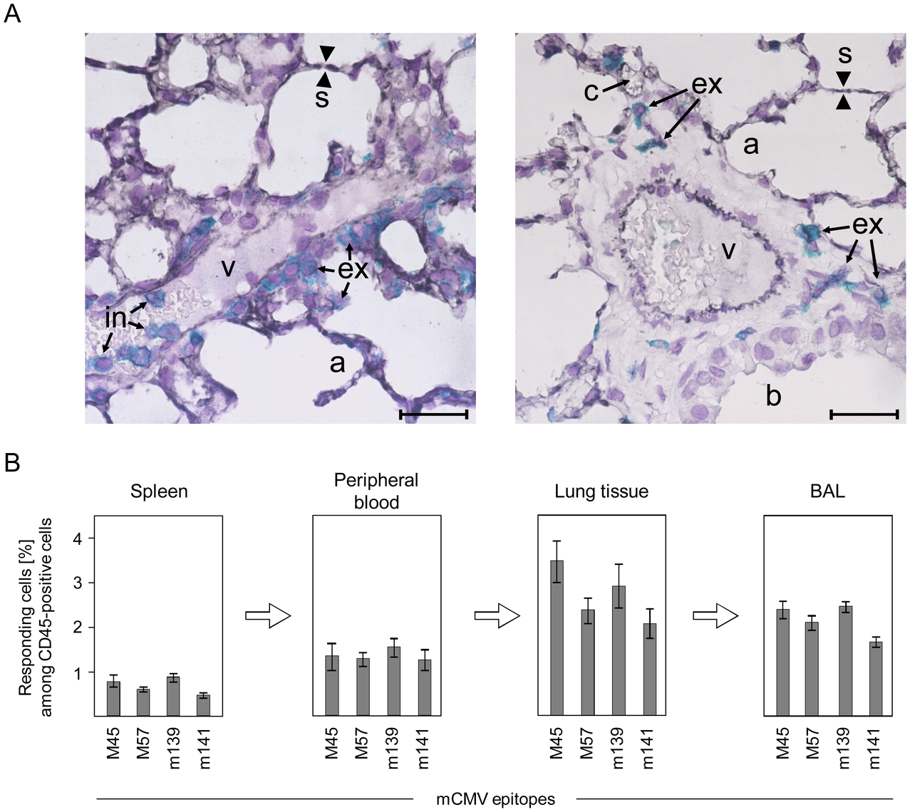 Activated virus epitope-specific CD8 T cells transmigrate from the vascular compartment into lung interstitium and alveolar epithelium.