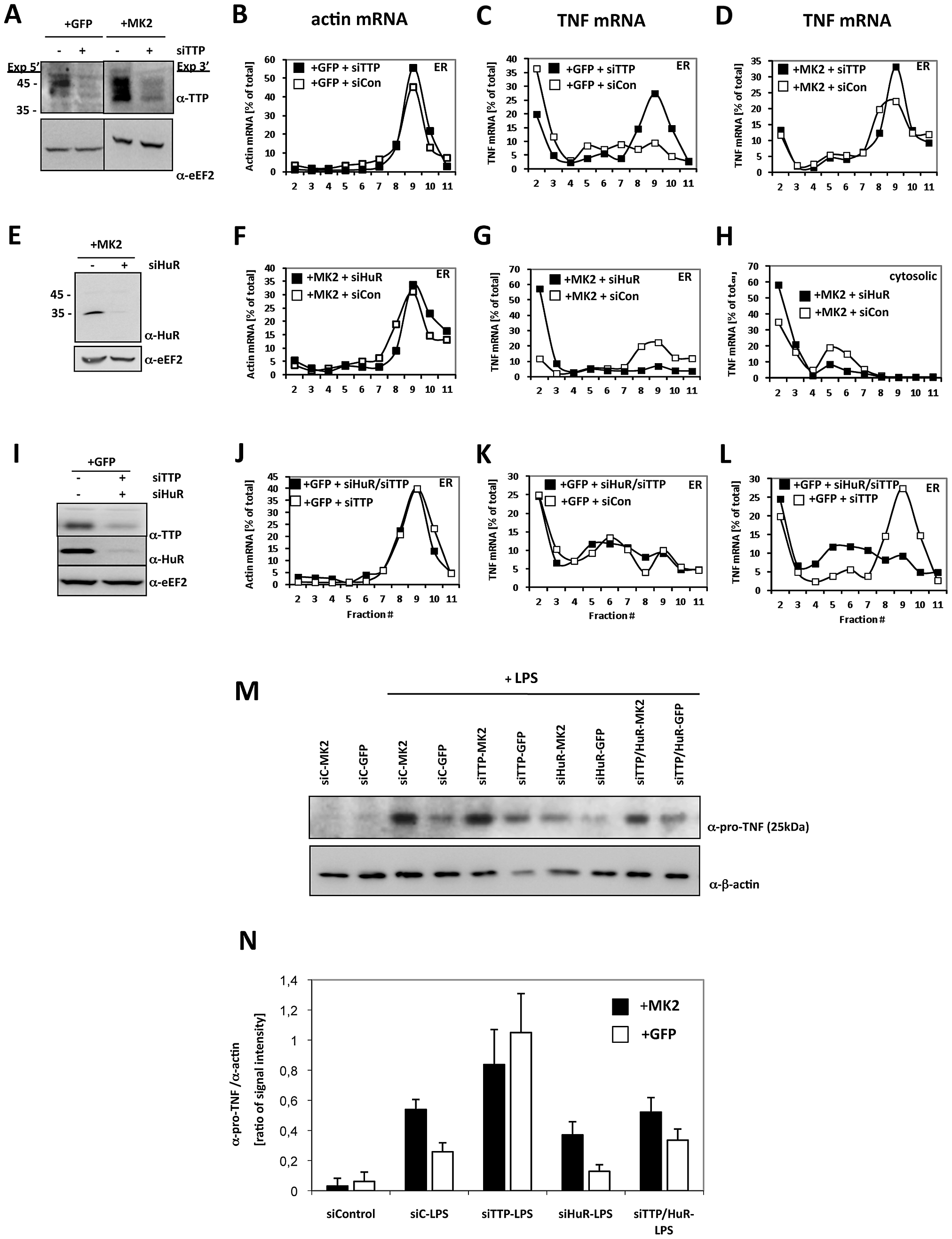 TTP and HuR oppositely regulate translation of TNF mRNA.