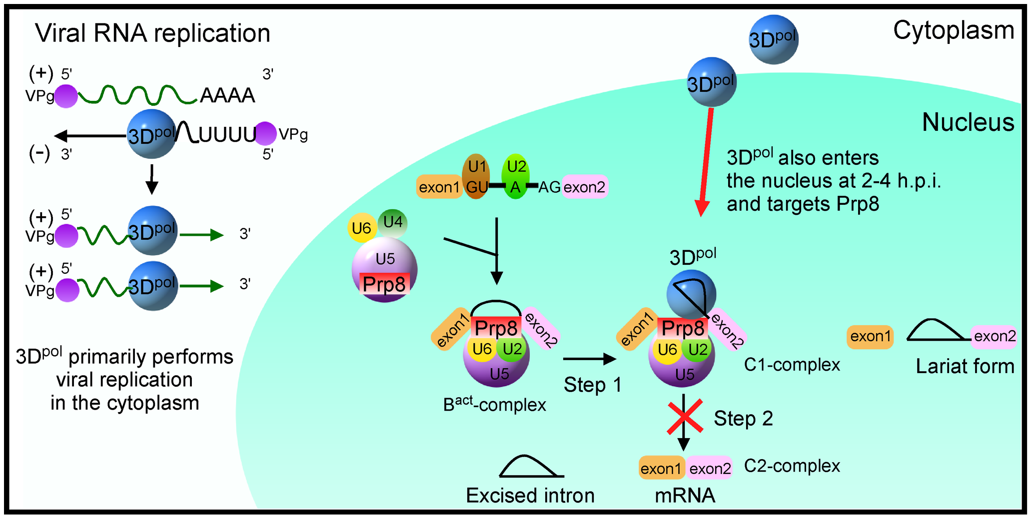 Schematic model of 3D<sup>pol</sup>-mediated inhibition of the cellular splicing by targeting Prp8 in the nucleus.