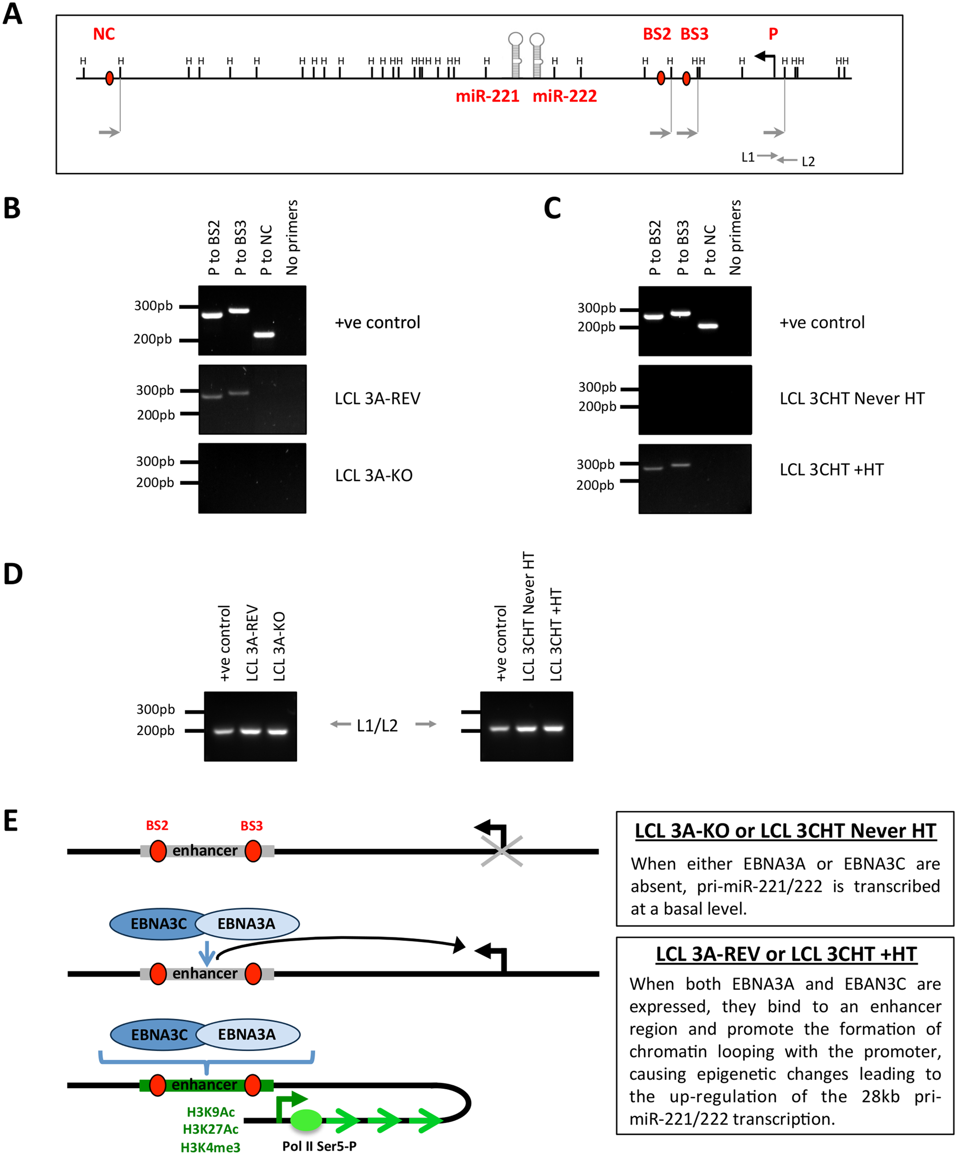 EBNA3A and EBNA3C induce chromosome looping at the miR-221/miR-222 cluster locus.