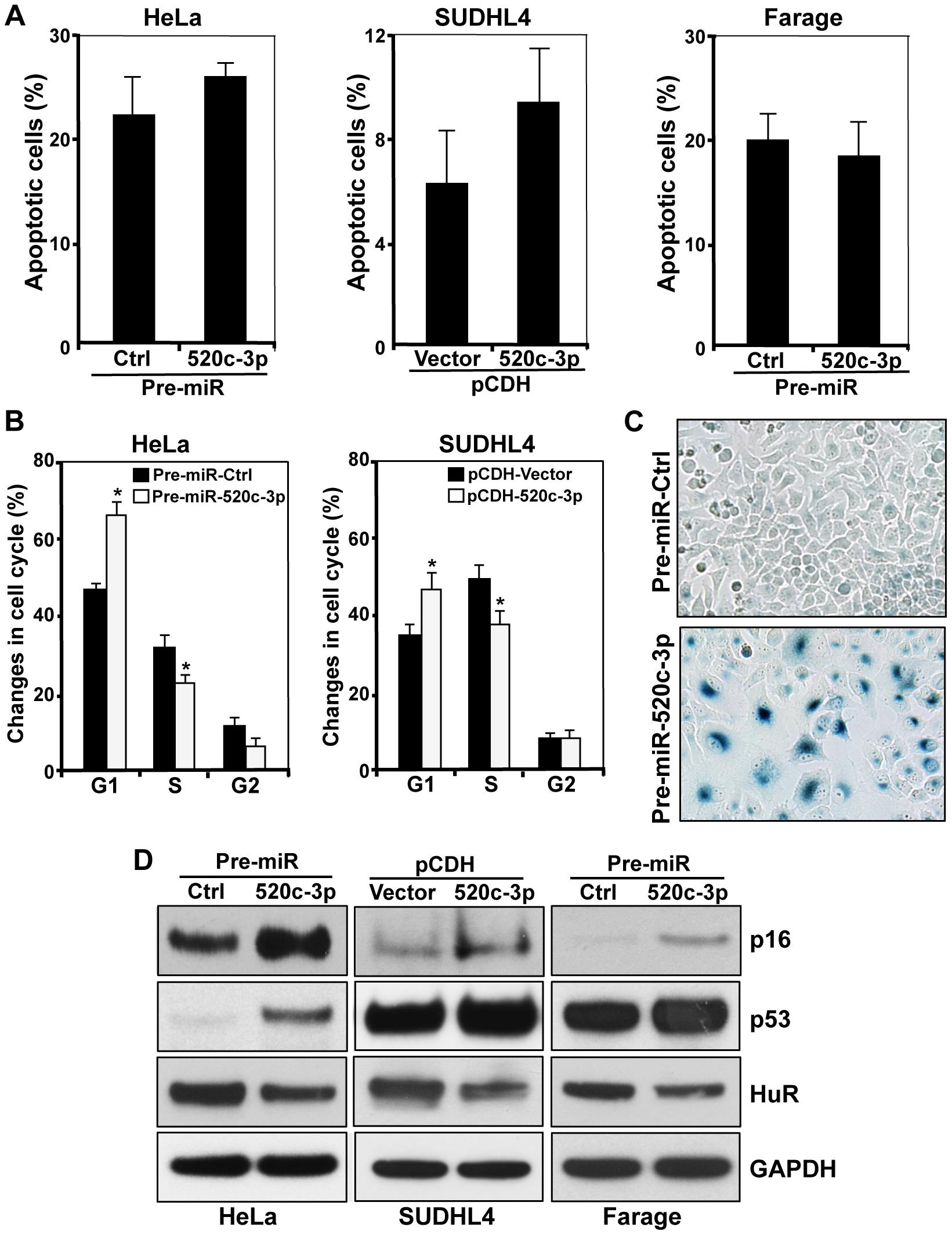 Influence of miR-520c-3p on the senescent phenotype.