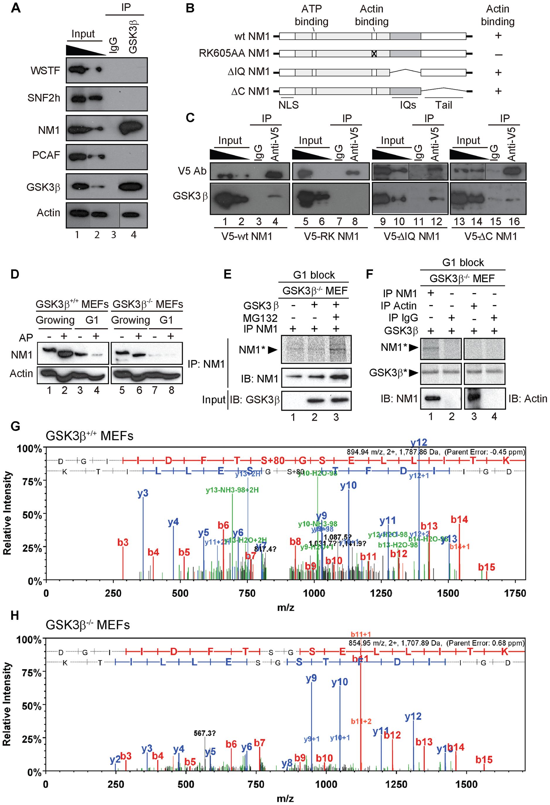 GSK3β phosphorylates NM1.