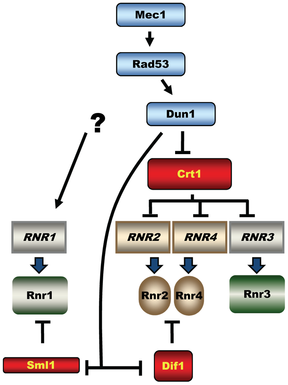 Mec1-Rad53-Dun1–dependent regulation of <i>S. cerevisiae</i> ribonucleotide reductase.