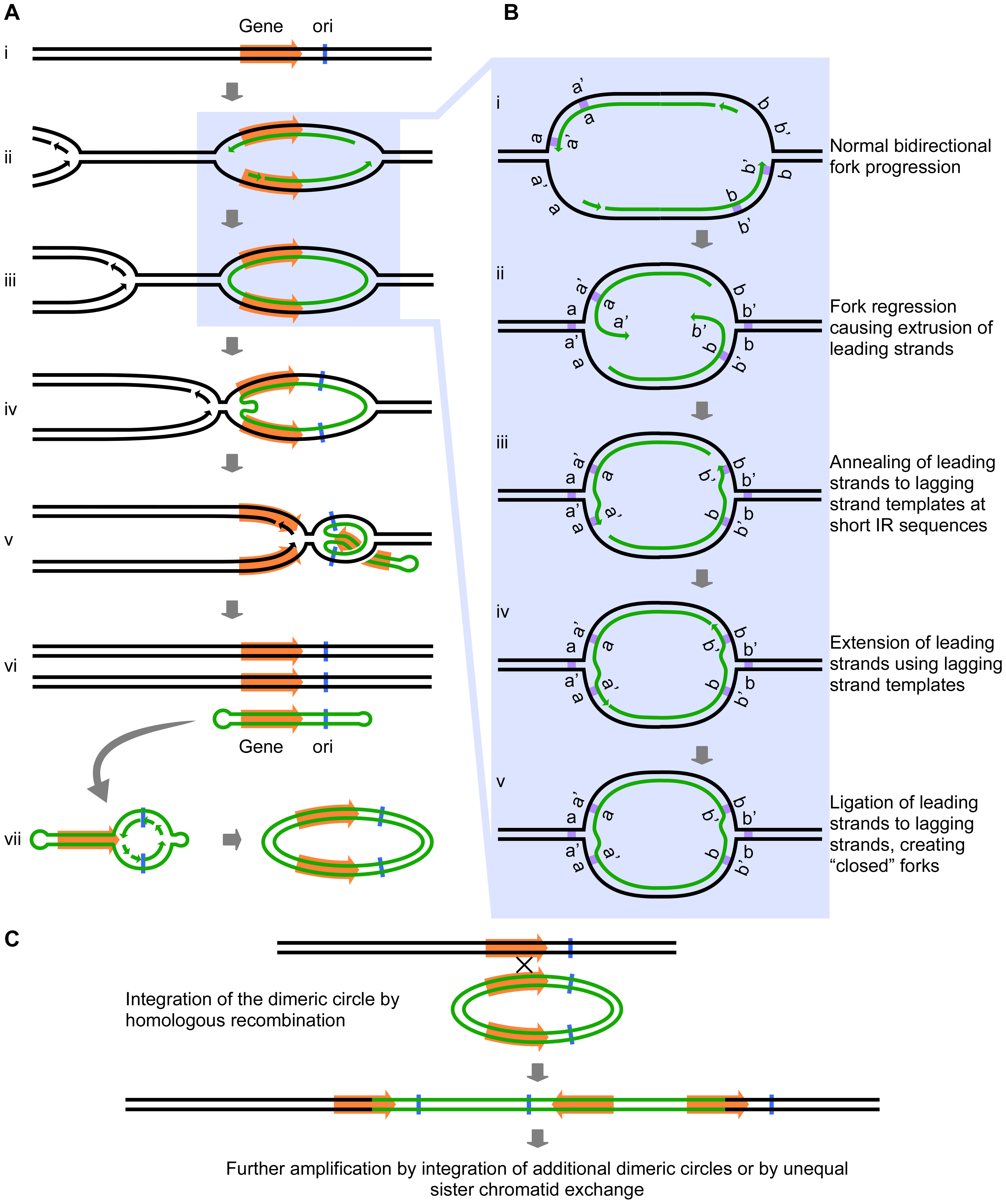 The Origin-Dependent Inverted-Repeat (ODIRA) model for Amplification of chromosomal segments.
