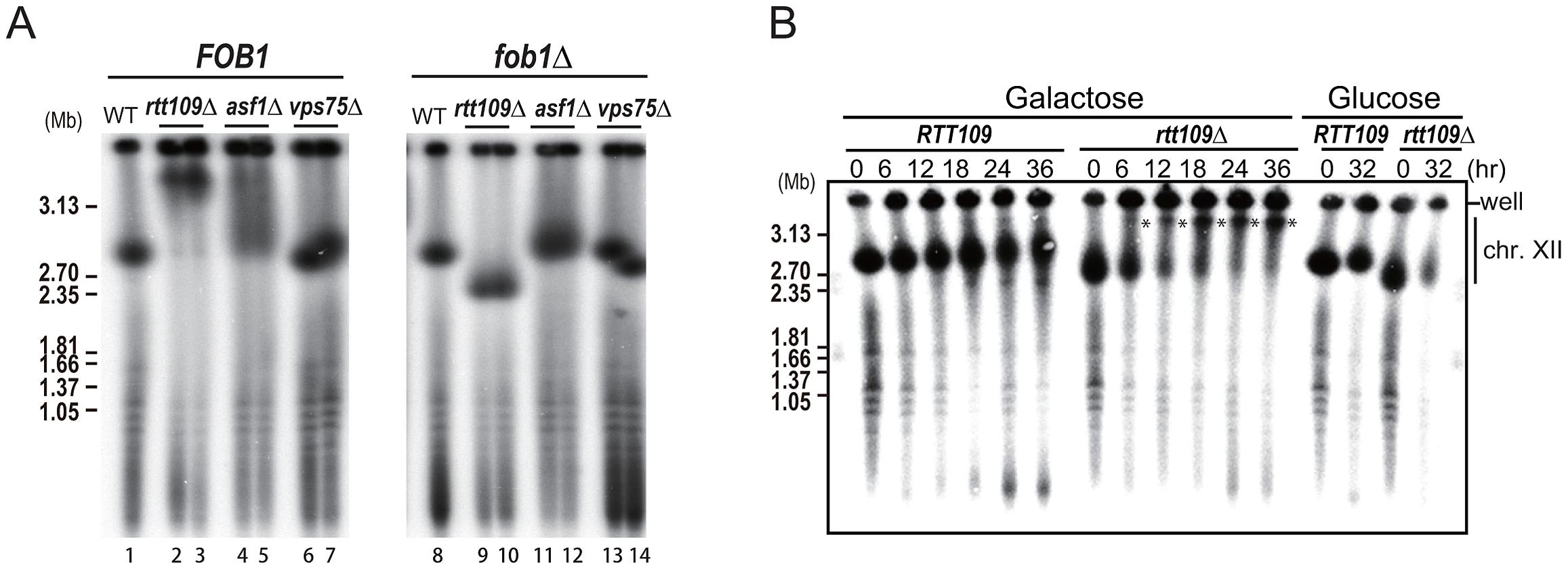 Fob1 promotes hyper-amplification in <i>rtt109</i> mutant.