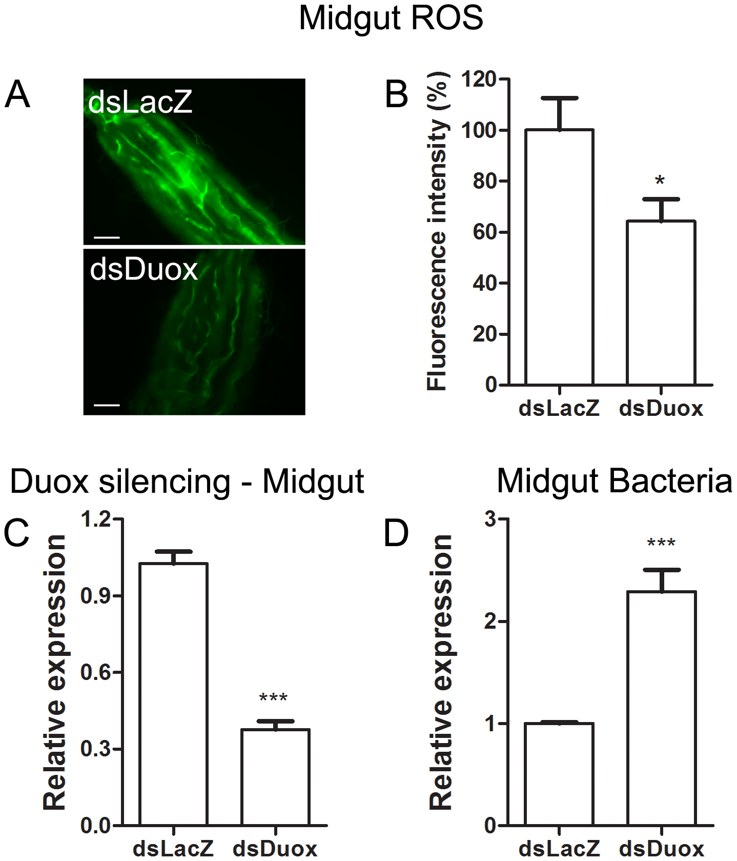 Duox silencing in the midgut reduces ROS levels and allow proliferation of intestinal microbiota.
