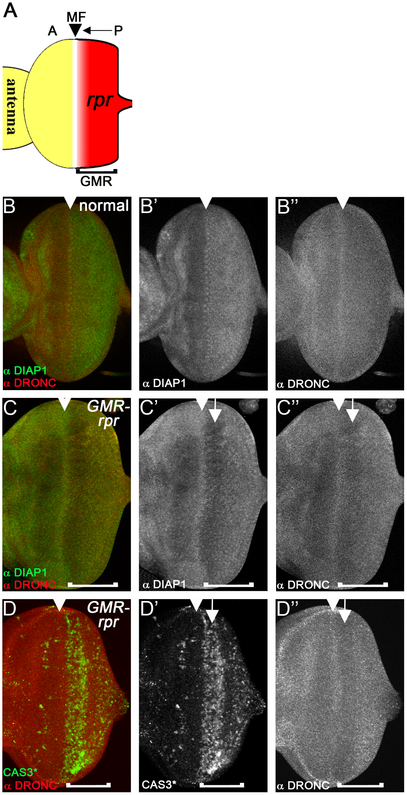 Loss of DIAP1 in <i>GMR-rpr</i> eye discs does not alter DRONC protein levels.