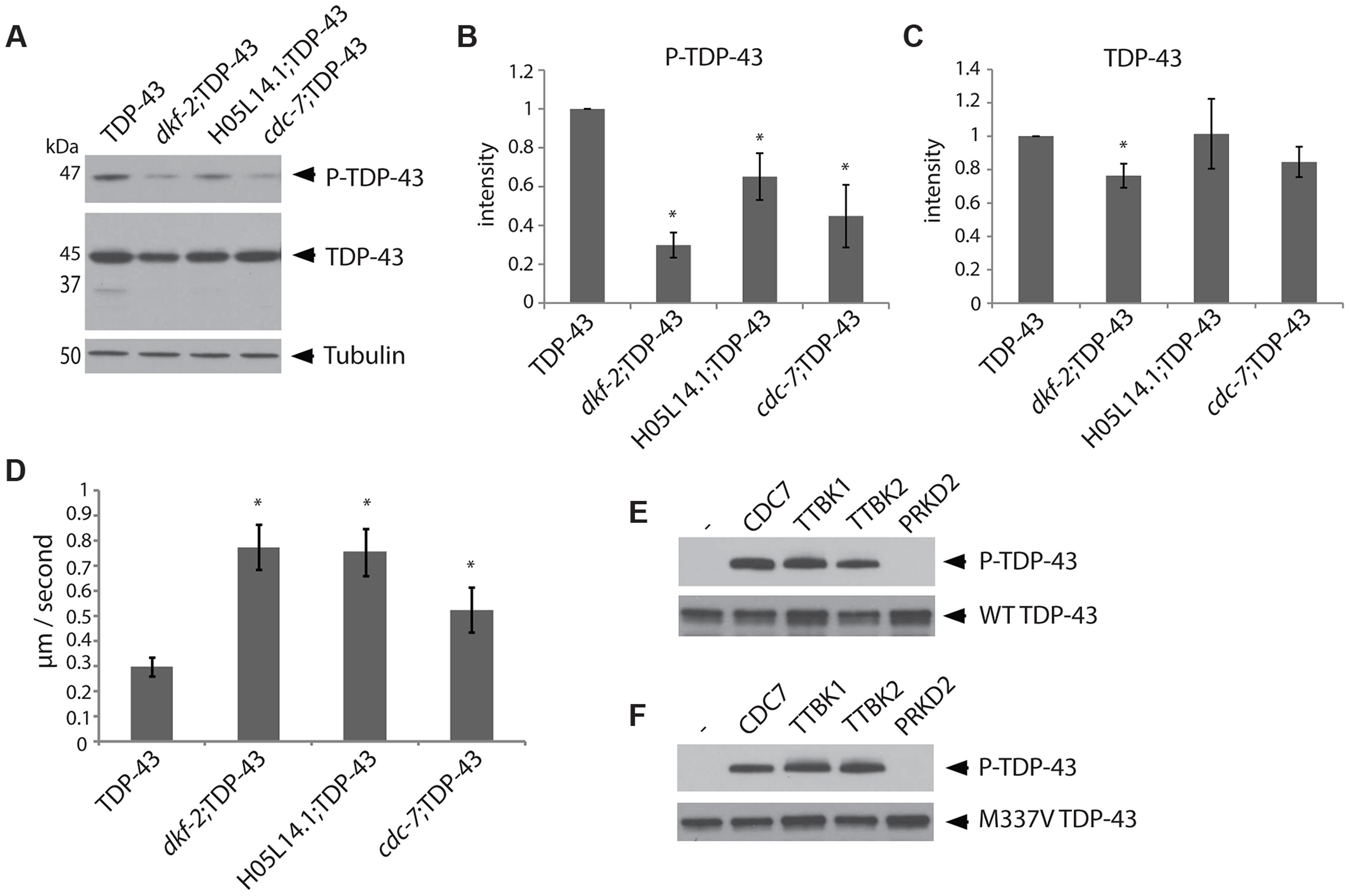 The kinases TTBK1/2 phosphorylate TDP-43 in <i>C. elegans</i> and <i>in vitro</i>.