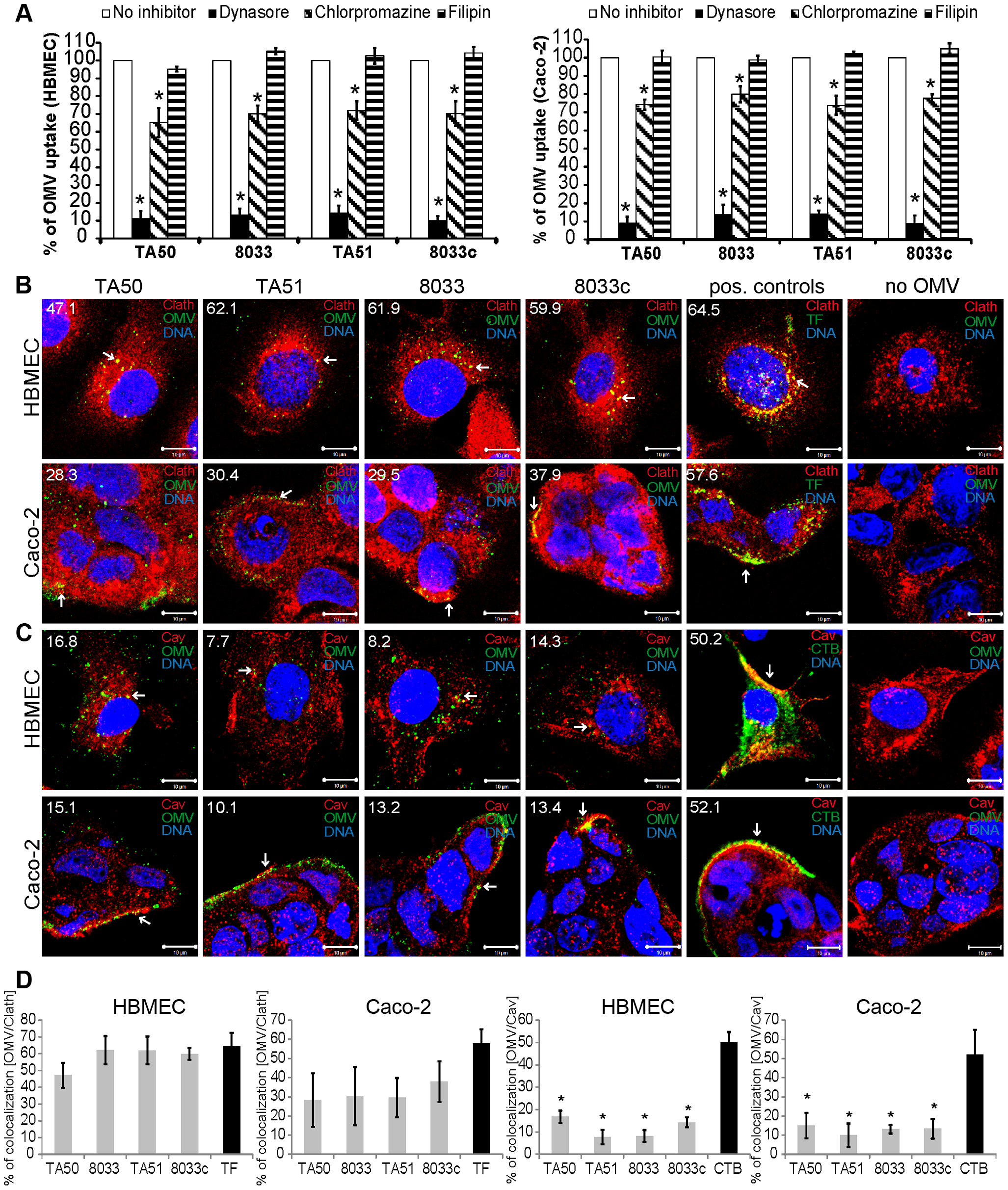 EHEC-Hly-containing OMVs are internalized via dynamin-dependent endocytosis.