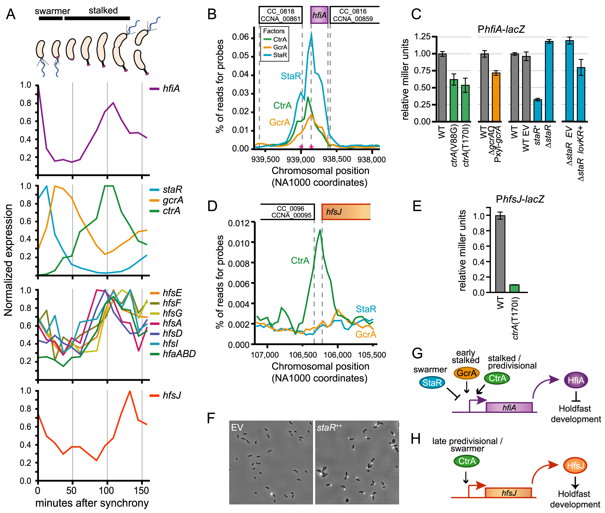 Transcription of <i>hfiA</i> is coordinately controlled by multiple regulatory proteins.