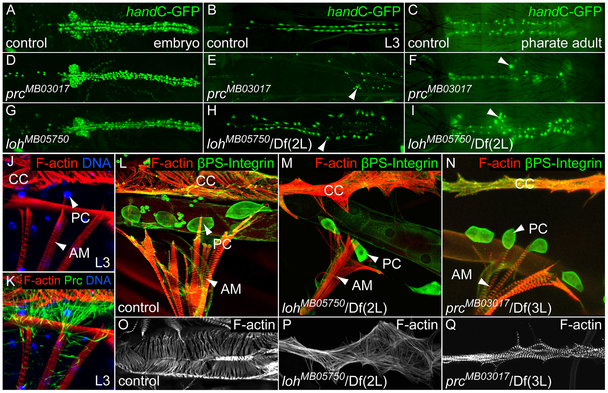 <i>loh</i> and <i>prc</i> are essential for cellular adhesion of cardiac cells.