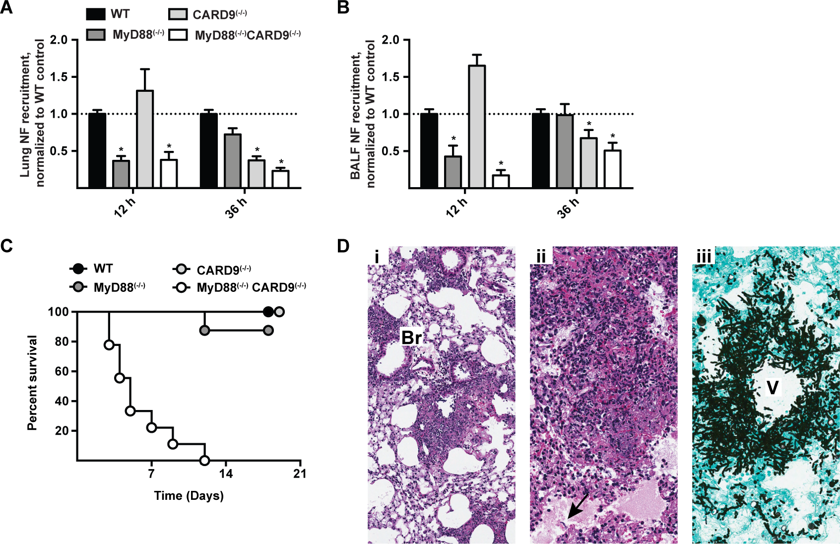 Effects of MyD88 and CARD9 are additive in murine defense against aspergillosis.