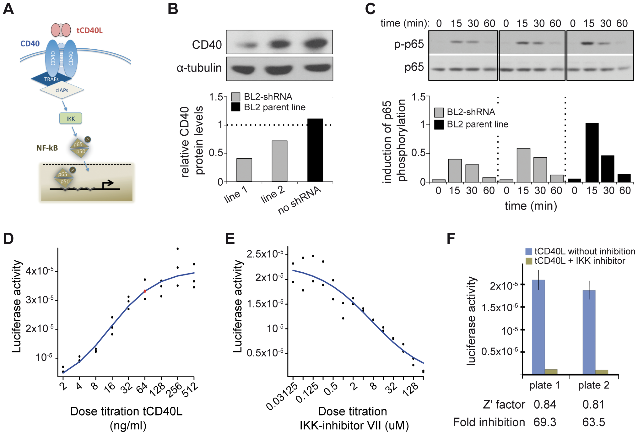 CD40 knockdown and CD40-luciferase assay in BL2 cells.