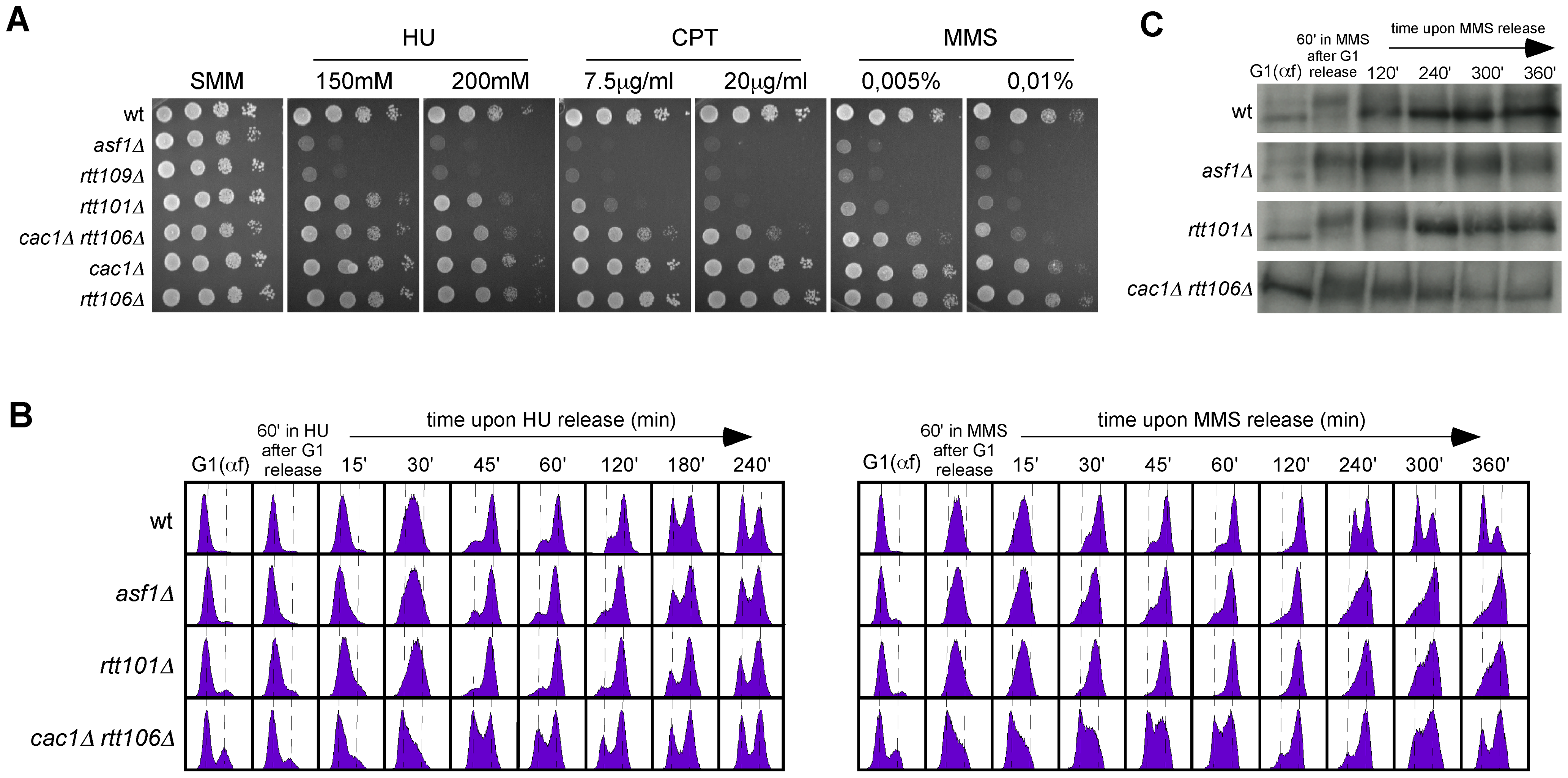 Roles of H3K56 acetylation and CAF1/Rtt106 on response to replication inhibition and replicative DNA damage.
