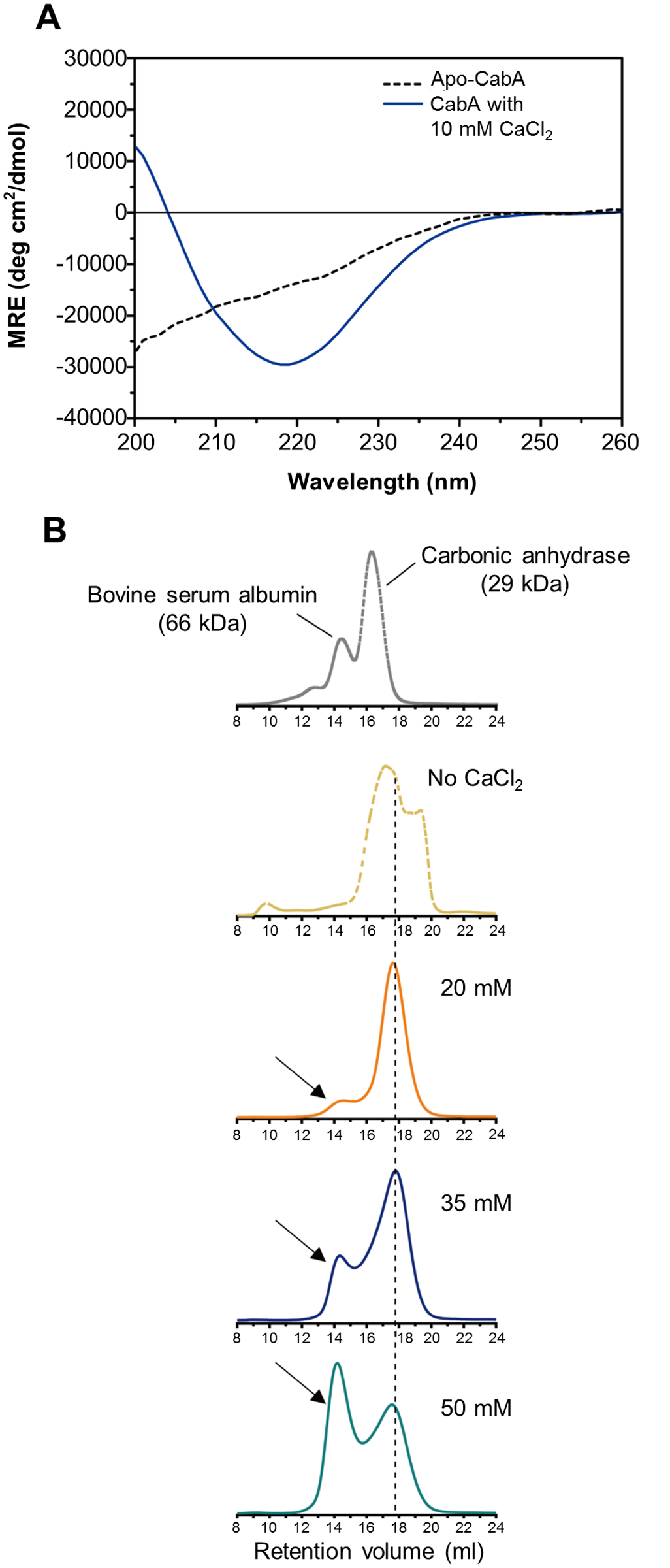 Calcium-induced conformational change and multimerization of CabA.