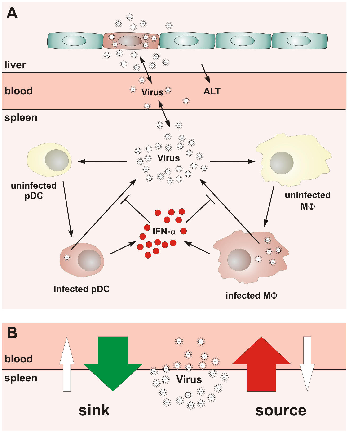 Conceptual scheme of type I IFN responses during cytopathic coronavirus infection.