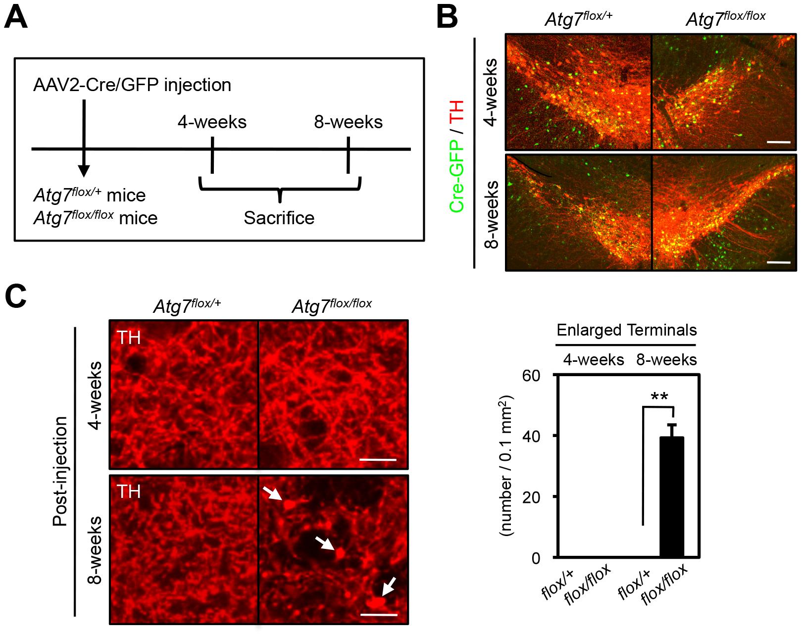 Atg7 regulates morphological plasticity of mature dopaminergic axon terminals.