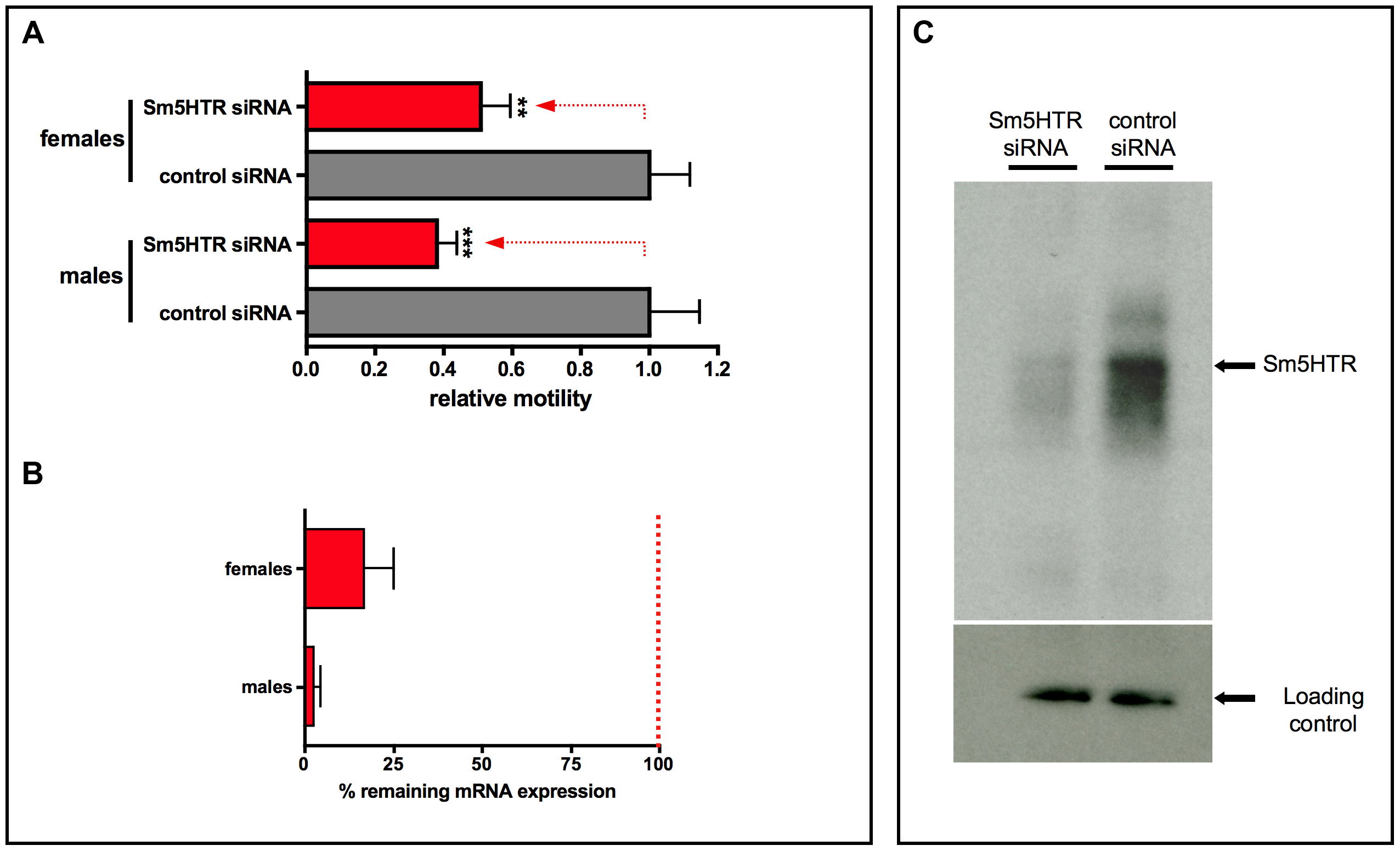 RNAi in adult worms.