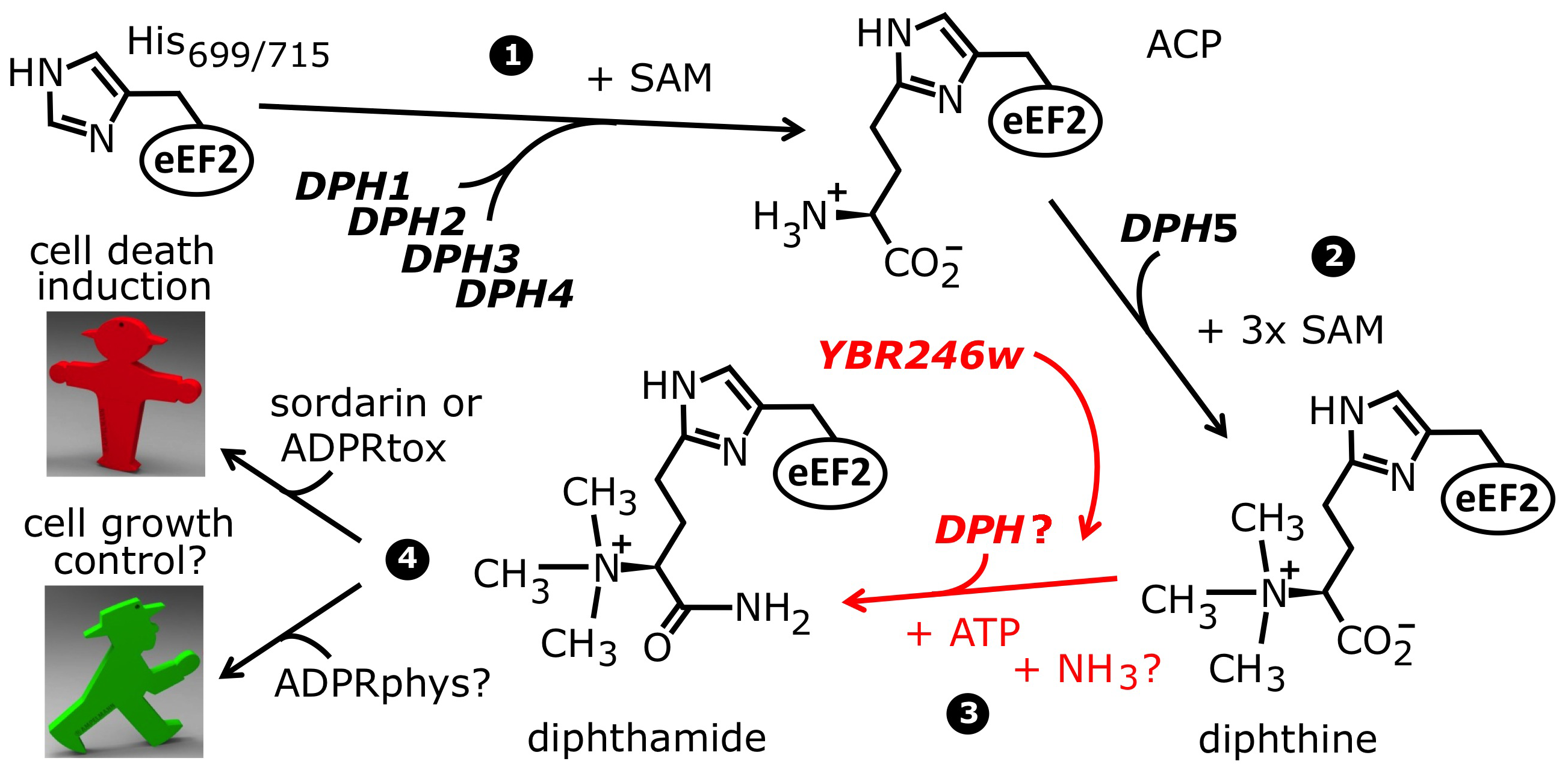 The biosynthetic pathway for modification of eEF2 by diphthamide.
