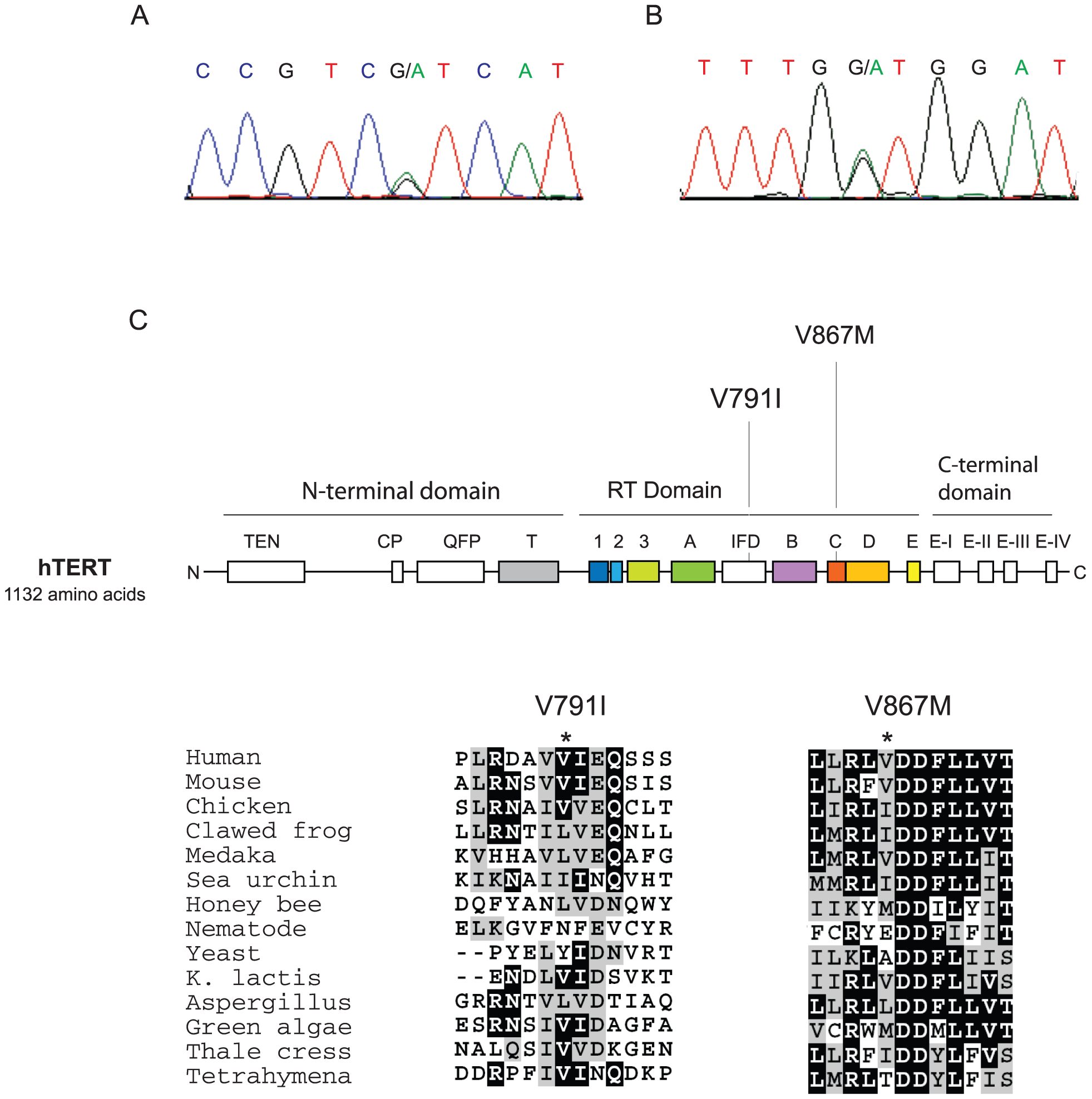 Position and conservation of non-synonymous variants in hTERT shared by pulmonary fibrosis families 13 and 143 probands.