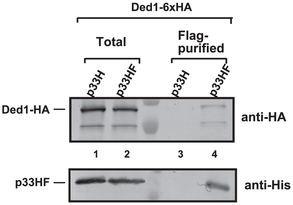 Co-purification of Ded1p with the p33 replication protein from yeast.