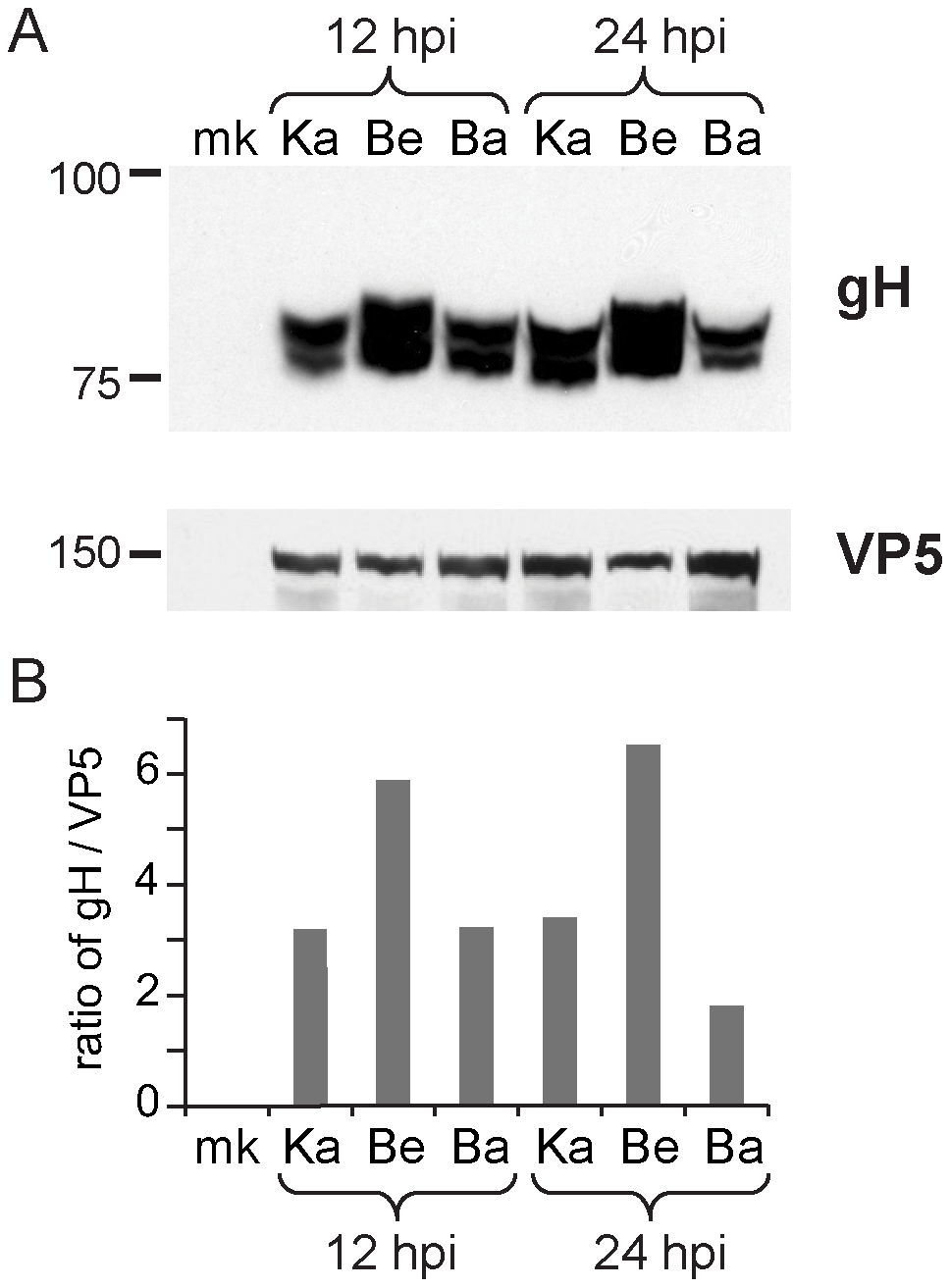 Inter-strain variation in protein levels of gH.