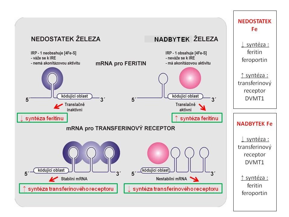 Schéma regulace tvorby feritinu, transferinového receptoru, ferroportinu a DVMT1 hladinou nitrobuněčného železa v tzv. labilním poolu cestou vazby IRP na IRE.