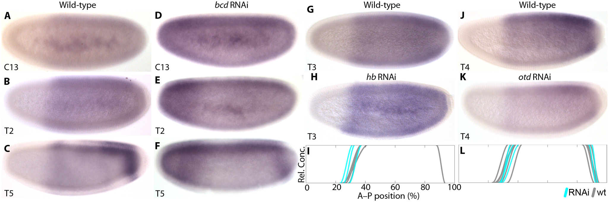 Zygotic <i>cad</i> mRNA expression in wild-type and RNAi-treated embryos.