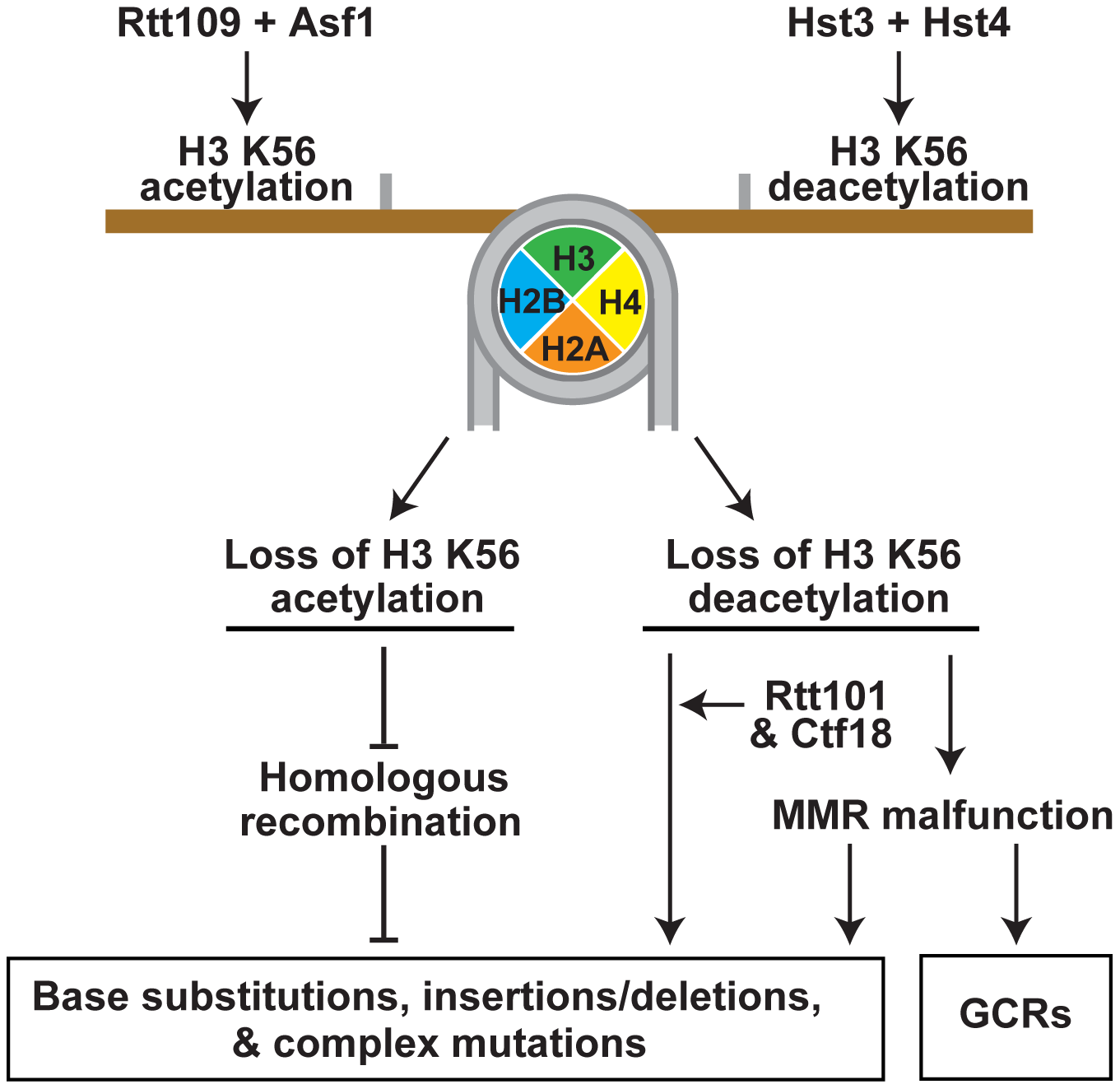 Model that summarizes the importance of the acetylation and deacetylation of H3K56 for the suppression of GCRs, base substitutions, small deletions/insertions, and complex mutations.