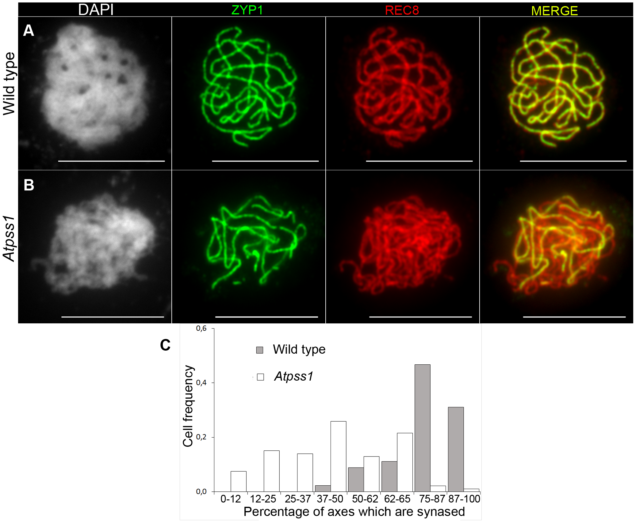 Co-immunolocalization of REC8 and ZYP1 at pachytene.