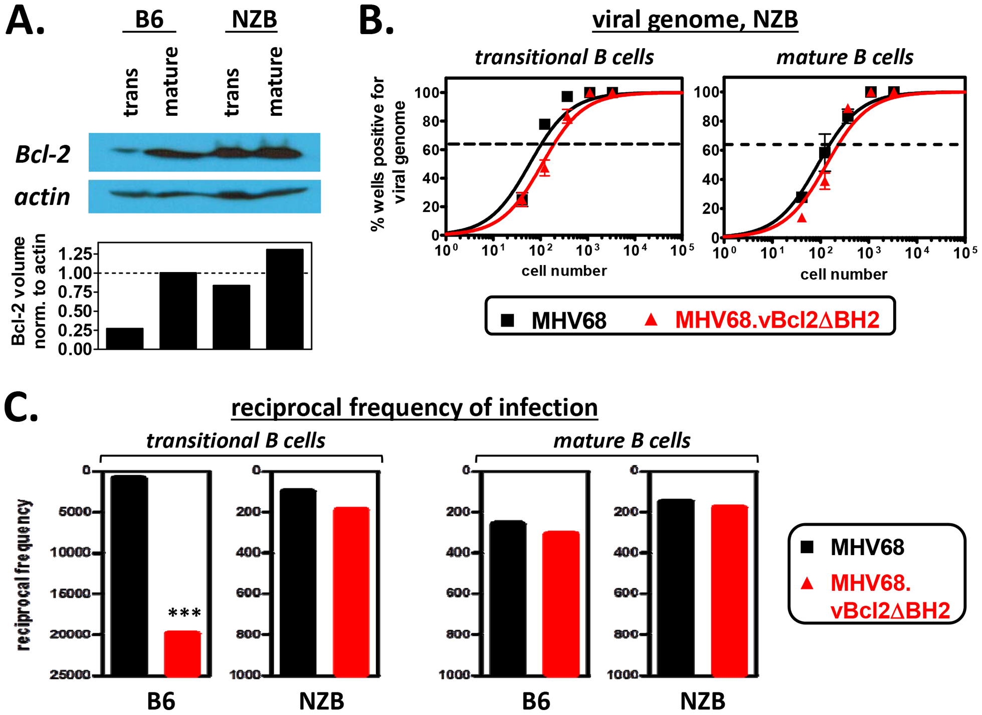 The attenuation of MHV68.vBcl2ΔBH2 in transitional B cells is complemented in mice that are resistant to negative selection.