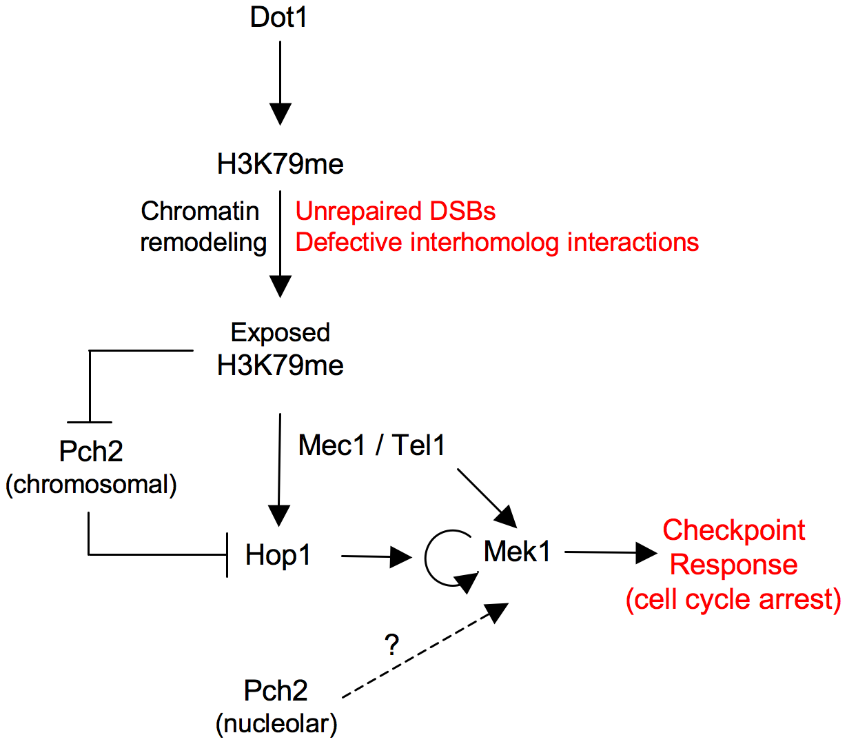 Model for Dot1 function in the meiotic recombination checkpoint.