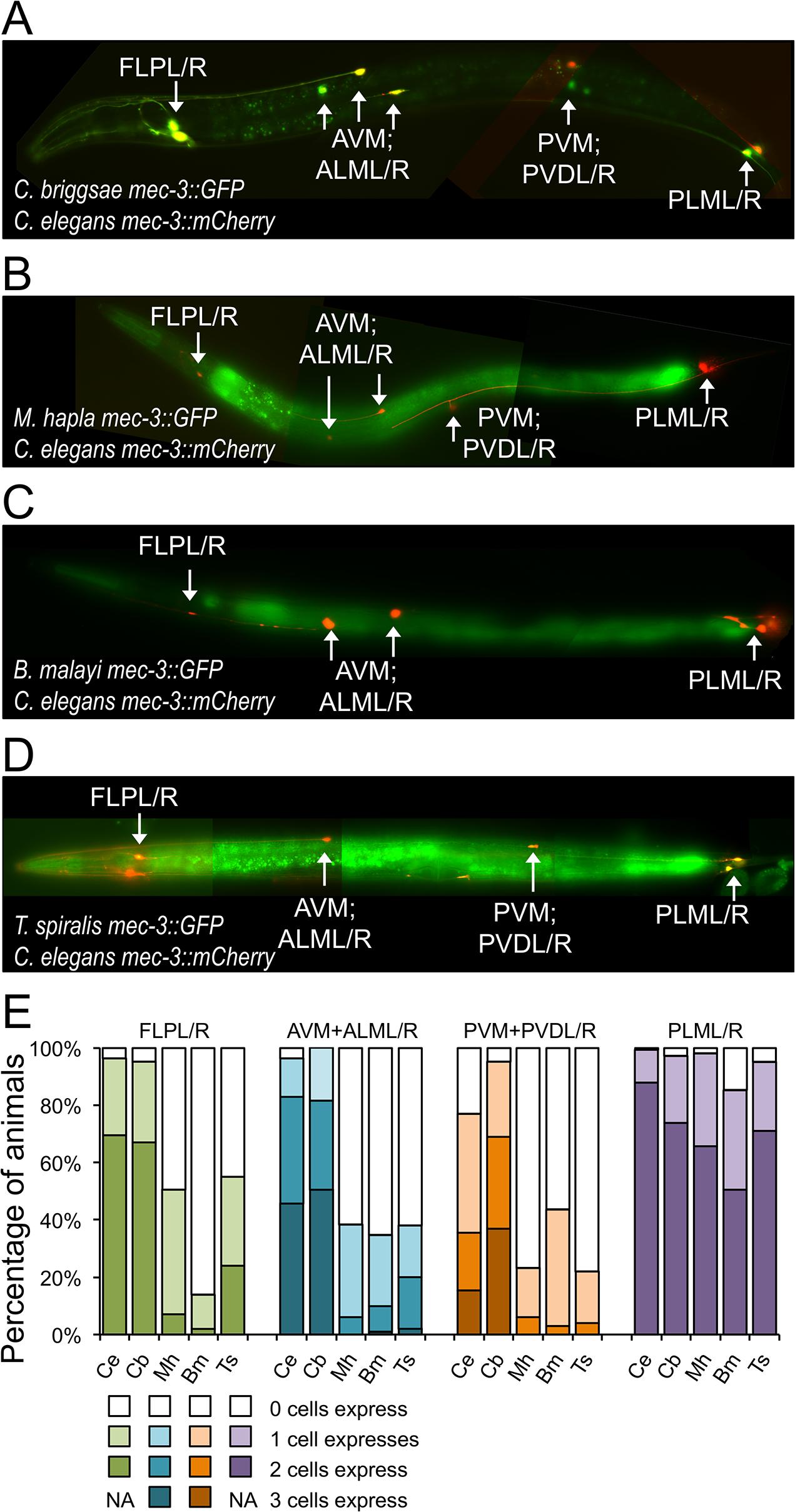 <i>mec-3</i> regulatory sequences from distantly-related nematodes drive expression in <i>C</i>. <i>elegans</i>.