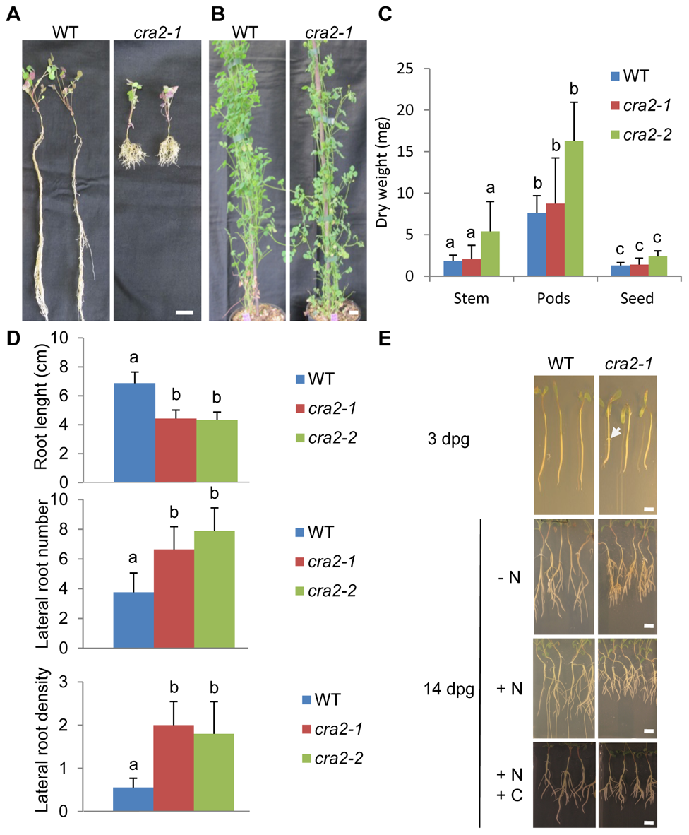 """The """"<i>compact root architecture 2</i>"""" (<i>cra2</i>) mutants have short roots and more lateral roots independently of the growth conditions."""