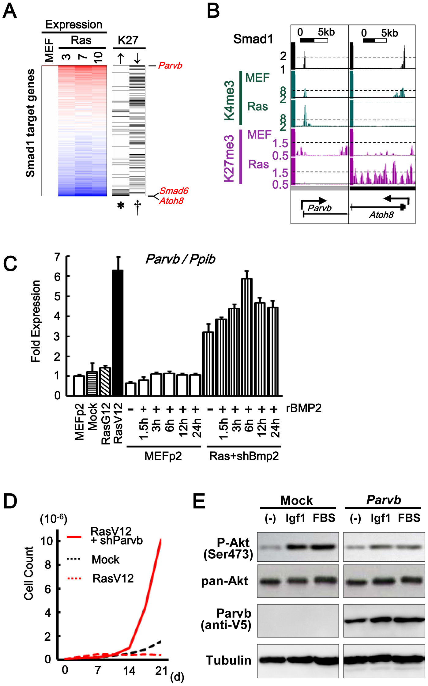 Smad1 target genes repressed and activated in senescence.
