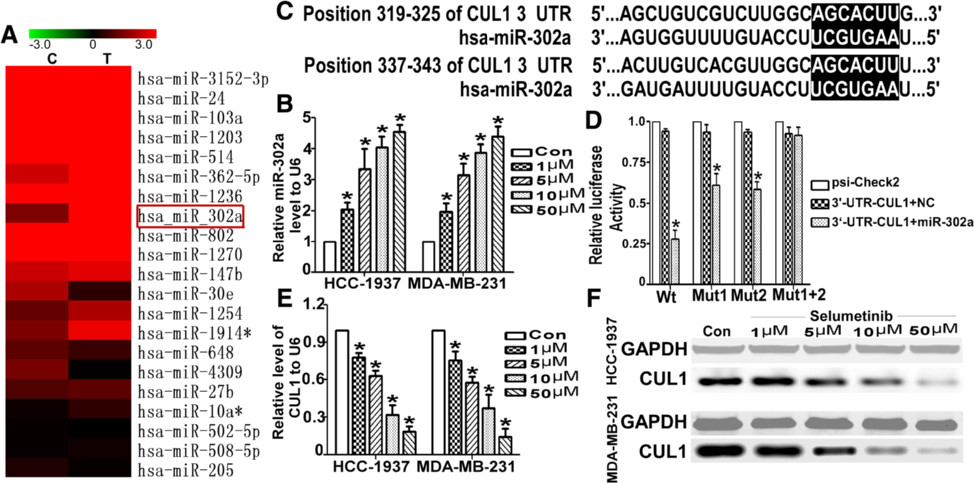 Selumetinib up-regulates miR-302a and down-regulated CUL1 in TNBC cells. a Microarray analysis was used to compare the expression profiles of 703 miRNAs in HCC-1937 cells that were untreated or treated with Selumetinib. MiR-302a, one of most markedly up-regulated miRs, is labeled with a red box. b As detected by qRT-PCR, the miR-302a levels were dramatically increased by approximately 2- to 5-fold in the dosedependent manner in Selumetinib groups compared with the untreated group. (For HCC1973 cells, the miR-302 levels are 2.03 ± 0.41, 3.33 ± 1.12, 4.03 ± 0.61 and 4.53 ± 0.41 respectively. For MDA-MB-231 cells, the miR-302 levels are 1.97 ± 0.47, 3.13 ± 0.67, 3.87 ± 0.47 and 4.41 ± 0.56 respectively.*P < 0.01 compared with the untreated control group, which is 1.). c The selection criteria of the miRNA targets were based on their common detection in the target prediction online databases as well as the full complementarity between the seed region of miR-302a and the 3′UTR of CUL1. d HEK 293 cells were co-transfected with miR-302a-MIMIC, psi-Check2, WT-psi-Check2-CUL1 or MUT-psi-Check2-CUL1. The luciferase activity levels were measured 24 h after transfection. The results from at least three independent experiments are presented as the means ± SE. In this panel, the luciferase assay results show the regulation of CUL1 by miR-302a (For Wt group, after transfect the miR-302 the luciferase activity was only 0.27 ± 0.05. As for mutated the first seed sequence, the luciferase activity was 0.62 ± 0.07. As for mutated the second seed sequence, luciferase activity was 0.57 ± 0.04. *P < 0.01 compared with the control group, which is 1.). e The CUL1 mRNA level was reduced with the exposed under Selumetinib in dose-dependent manner (For HCC1973 cells, the CUL1 levels are 0.81 ± 0.04, 0.63 ± 0.08, 0.43 ± 0.14 and 0.23 ± 0.07 respectively. For MDA-MB-231 cells, the CUL1 levels are 0.78 ± 0.07, 0.64 ± 0.11, 0.37 ± 0.07 and 0.24 ± 0.05 respectively.*P < 0.01 compared with the untreated control group, which is 1.). f The change of CUL1 protein has showed a similar trend