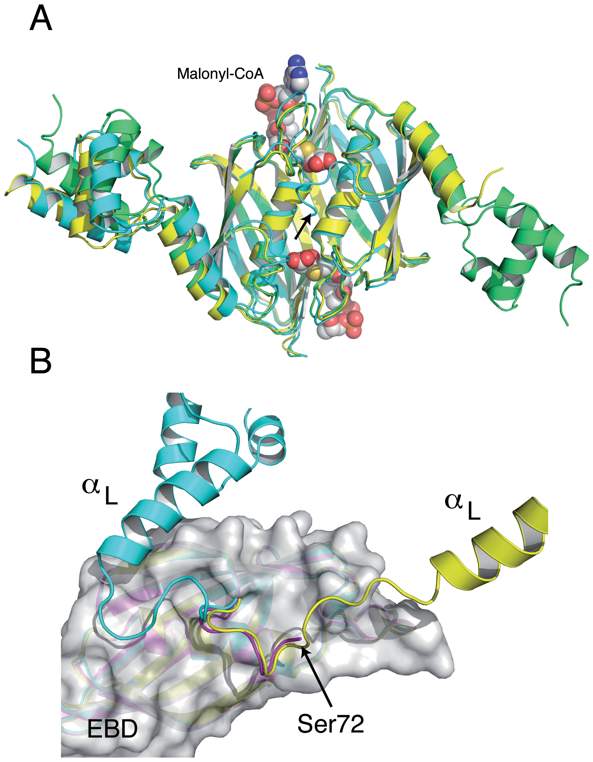 The structures of the <i>Sa</i>FapR homodimer in the absence of ligands display distinctive features of either the malonyl-CoA-bound or the DNA-bound forms of the repressor.