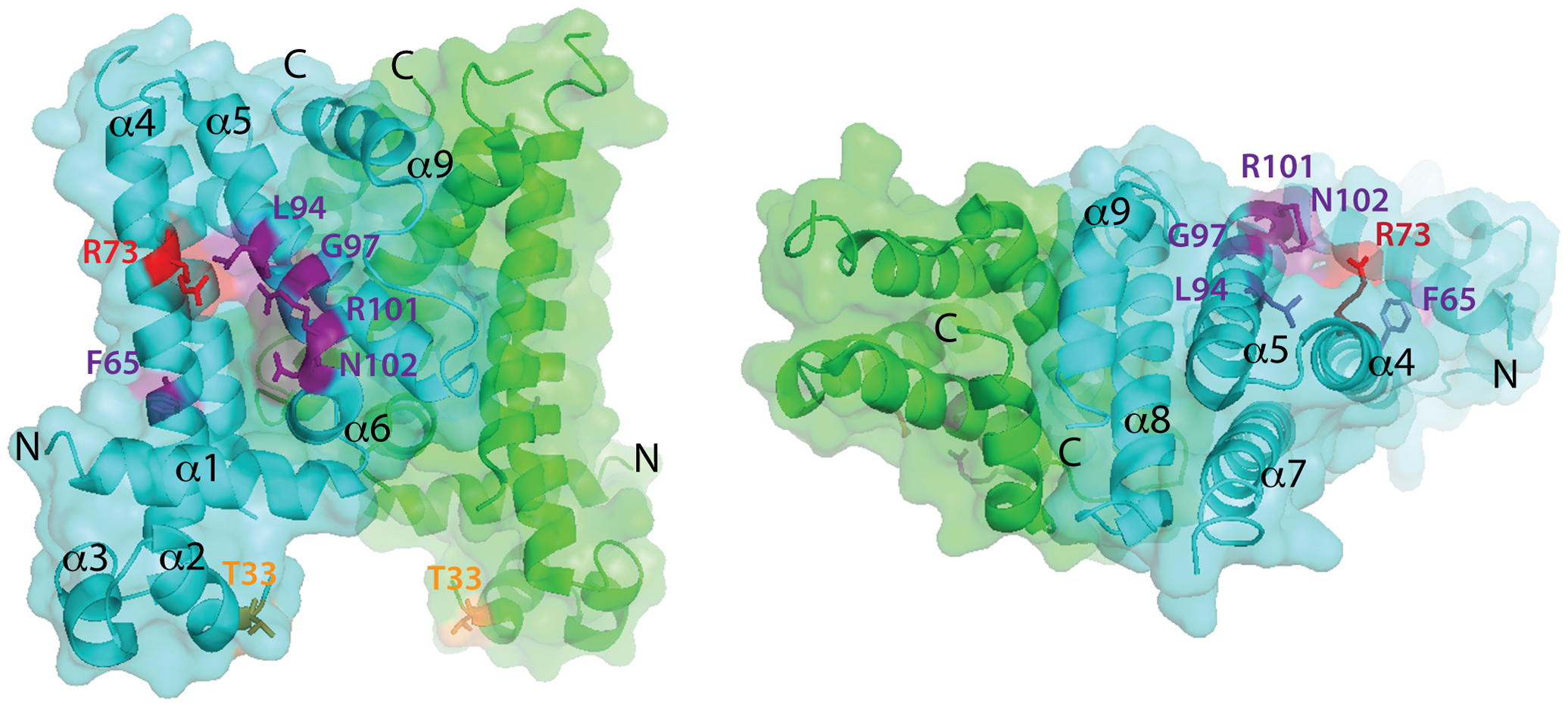 Location of amino acid substitutions on the SlmA structure.