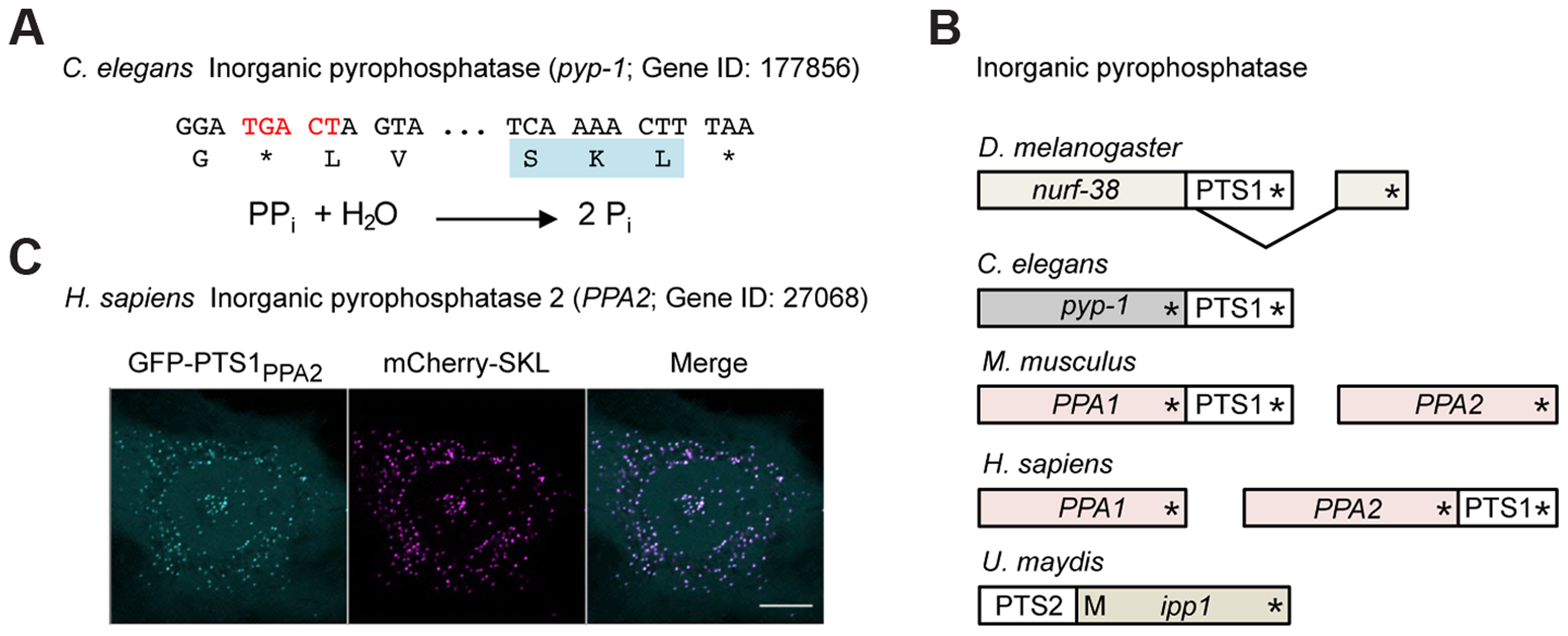 Inorganic pyrophosphatase is targeted to peroxisomes in different species by various mechanisms.