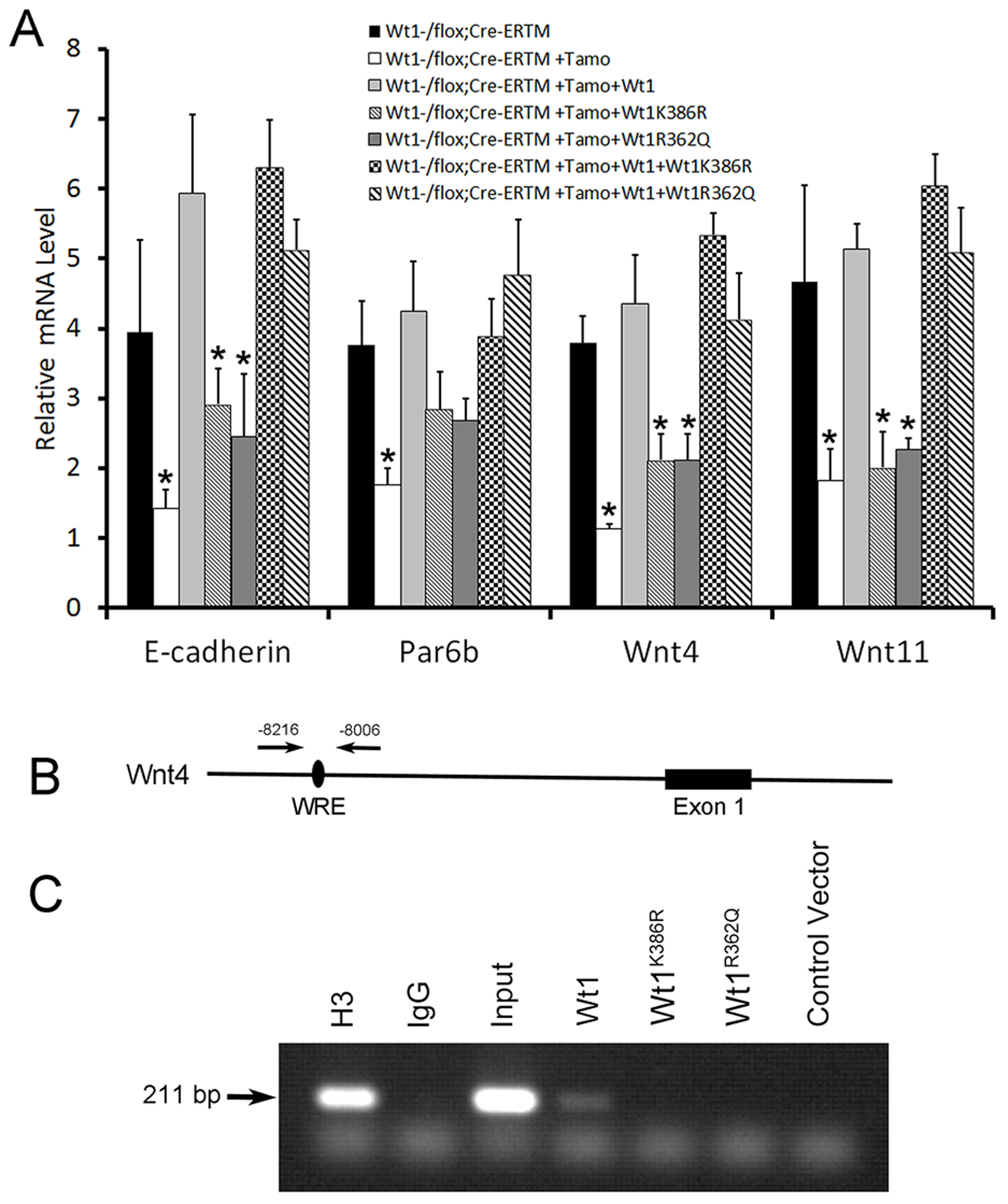 Functional analysis of WT1 mutations detected in NOA patients.