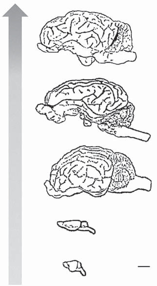 Fig. 2. Brain sizes of (a) mice (Mus musculus), (b) rats (Rattus norvegicus), (c) Libechov minipigs, (d) pigs (Sus scrofa domesticus), and (e) sheep (Ovis aries domestica).