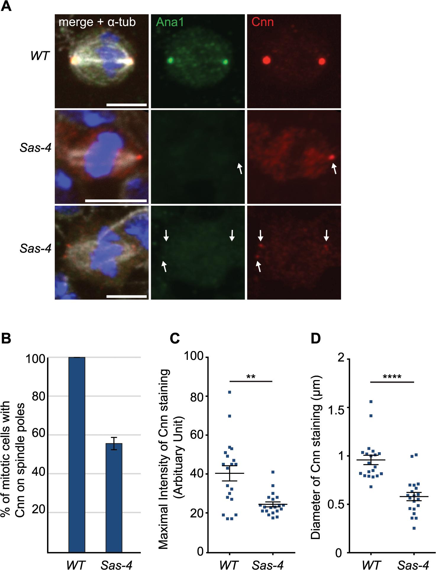 <i>Drosophila</i> cells without centrioles can form acentriolar microtubule organizing centers (aMTOCs).