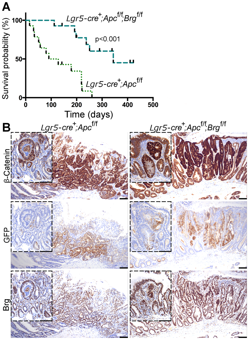 Stem cell-specific Brg1 loss in the small intestine attenuates Wnt-driven adenoma formation and improves animal survival.