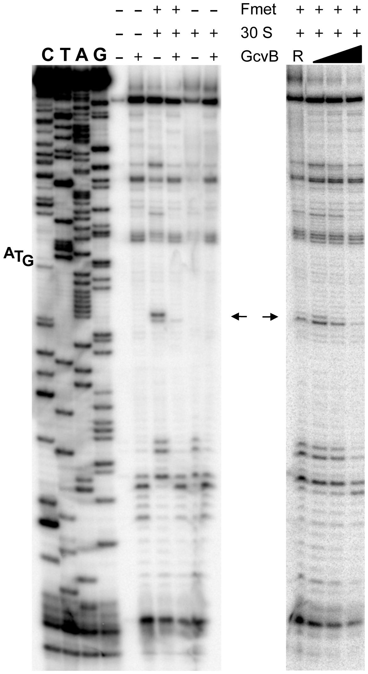 Toeprinting analysis of <i>yifK</i> mRNA.